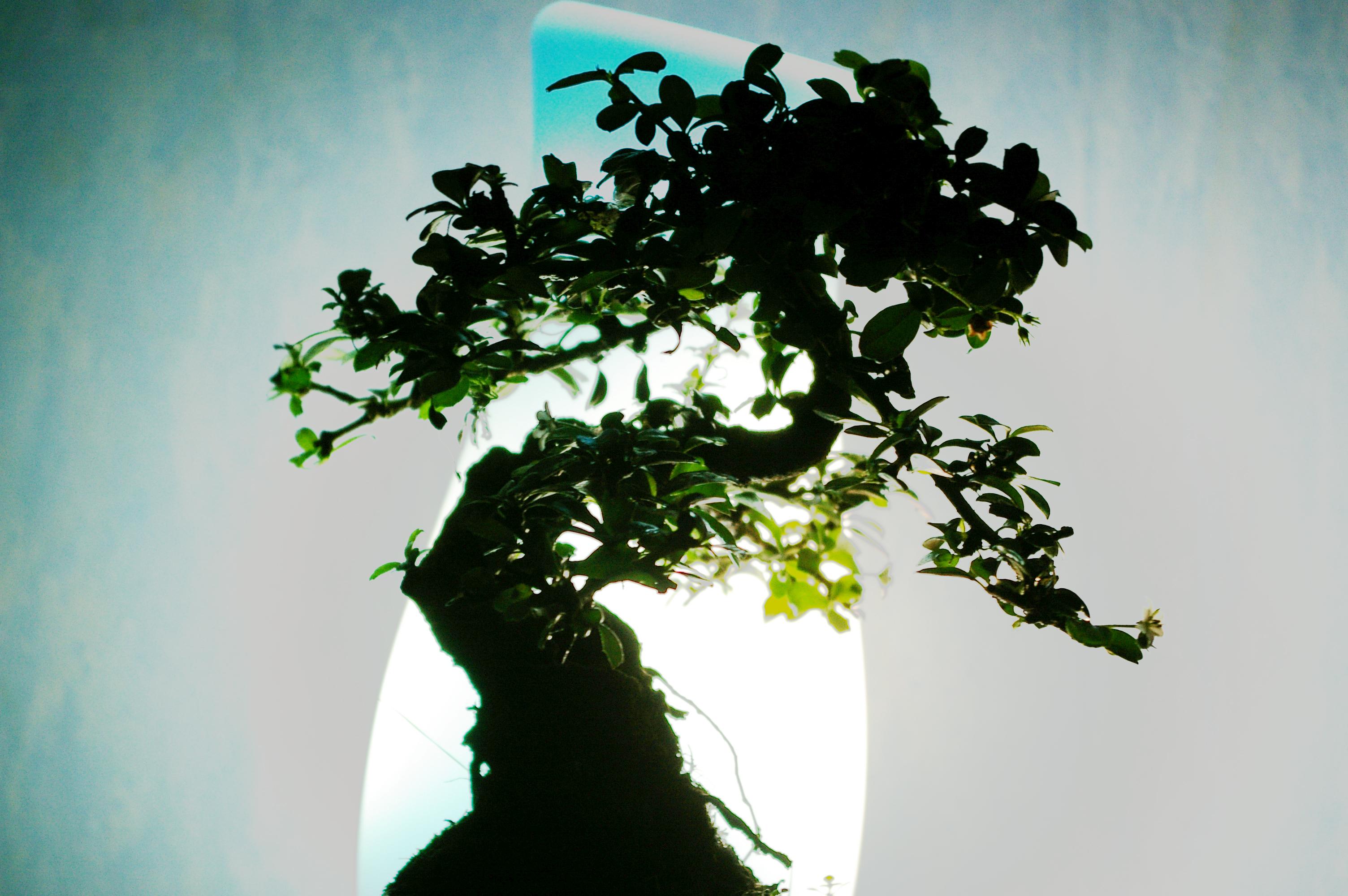 Banzai tree, Bansai, Banzai, Chamber, Green, HQ Photo