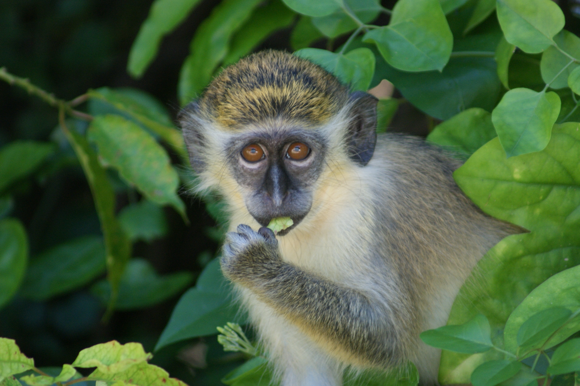 File:Chlorocebus Aethiops (Green Monkey).JPG - Wikimedia Commons