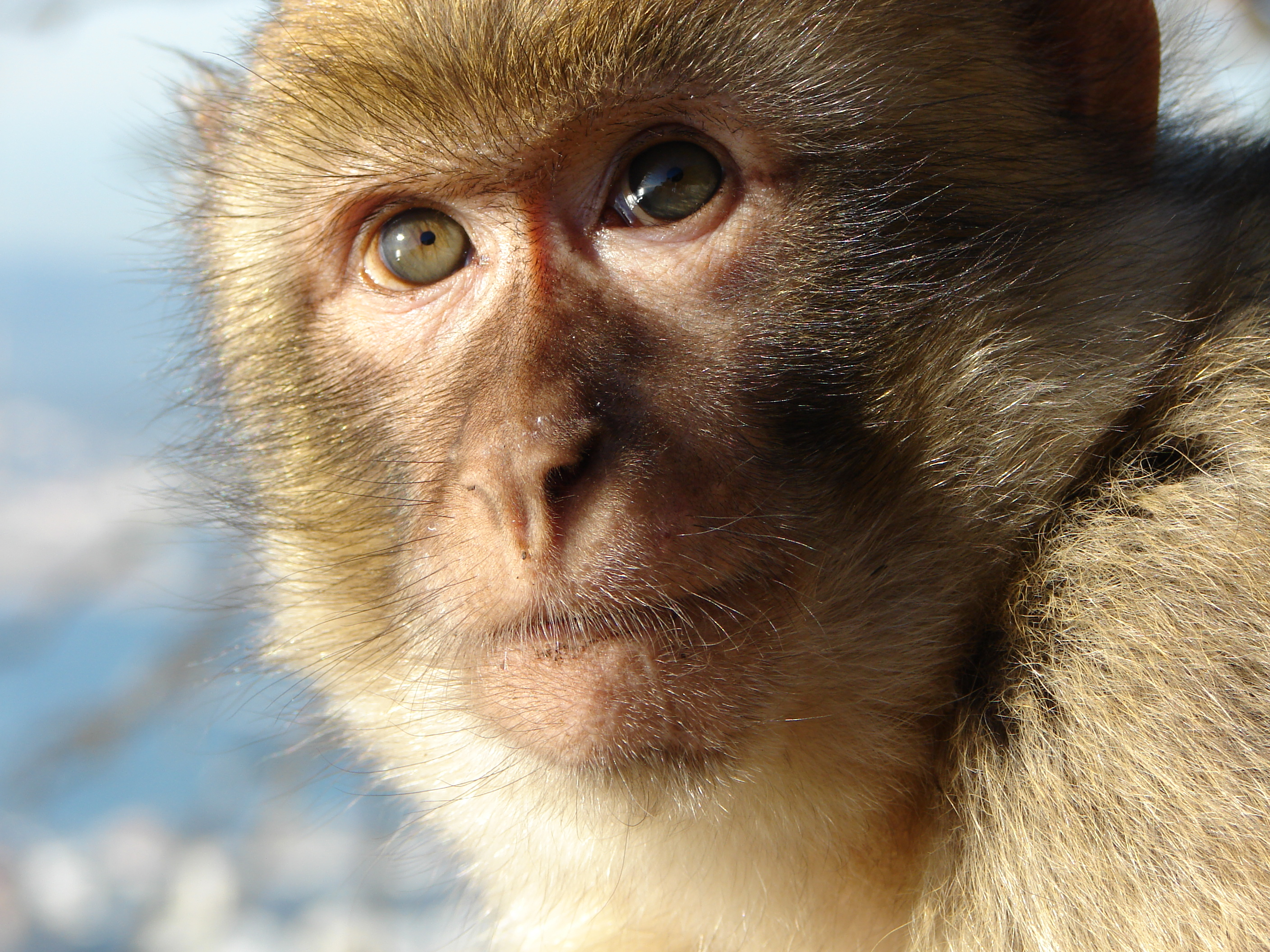 Barbary macaque - Wikipedia