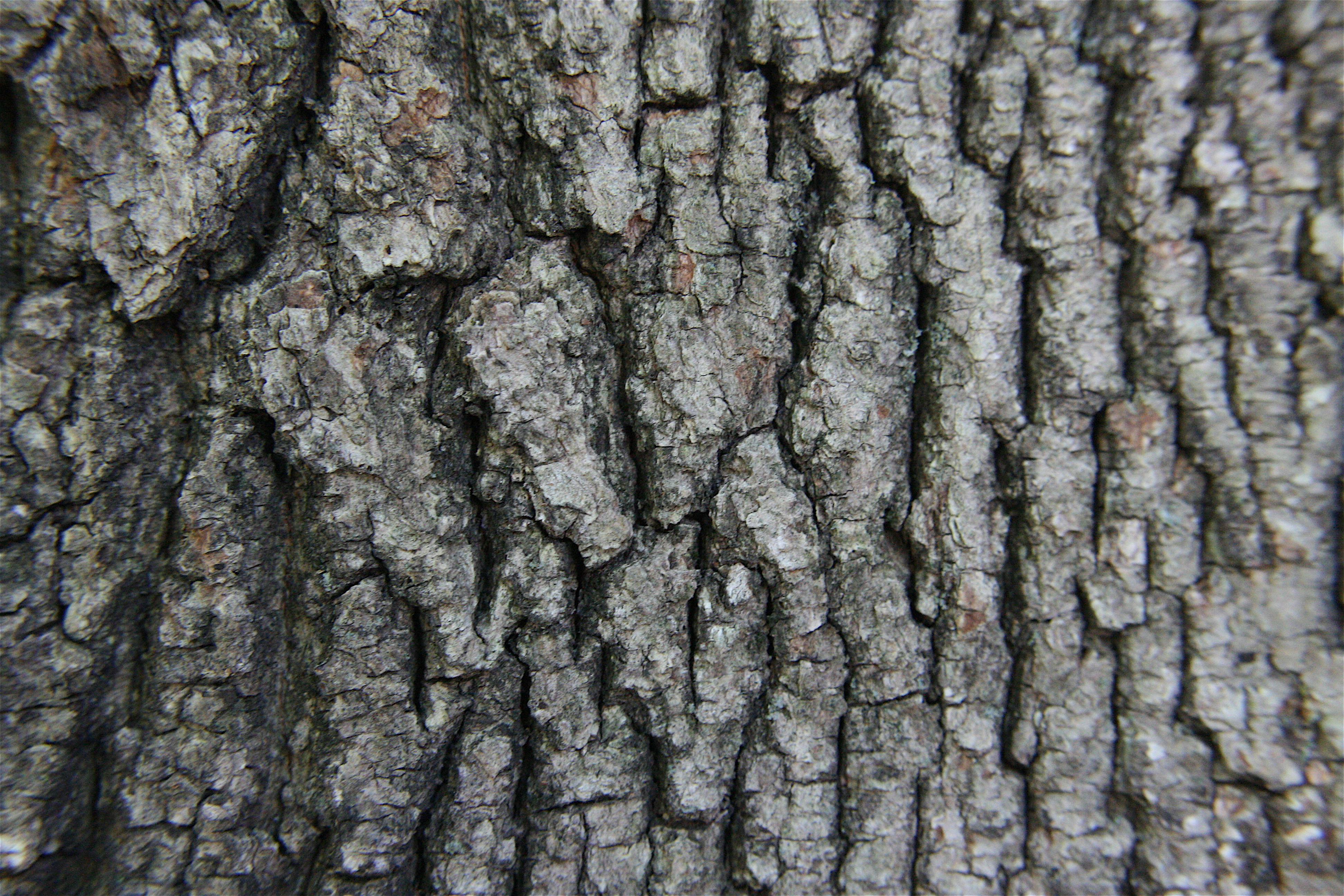 File:Acer rubrum(Bark).JPG - Wikimedia Commons