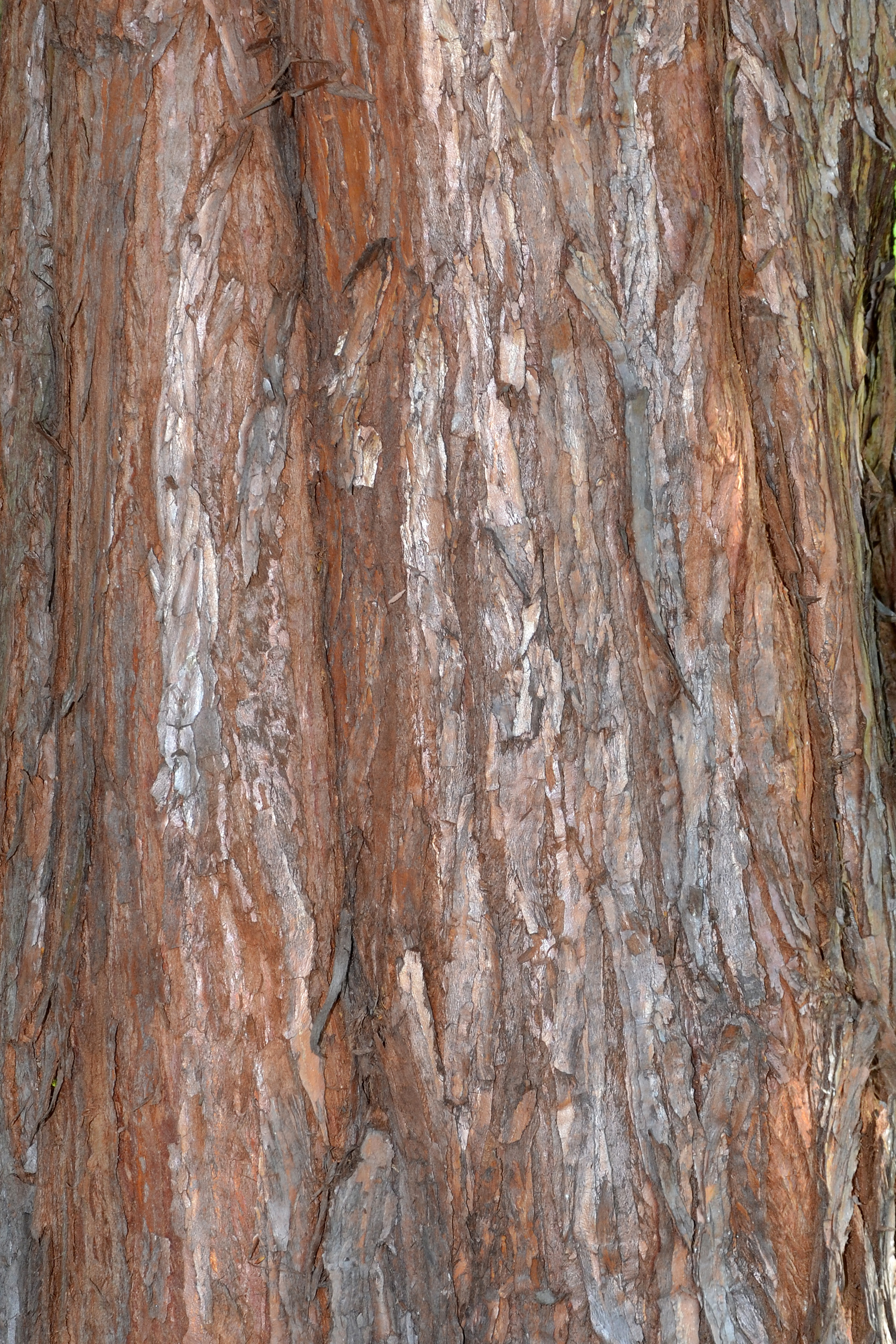 Free photo: Bark of giant redwood - Texture, Timber, Tree