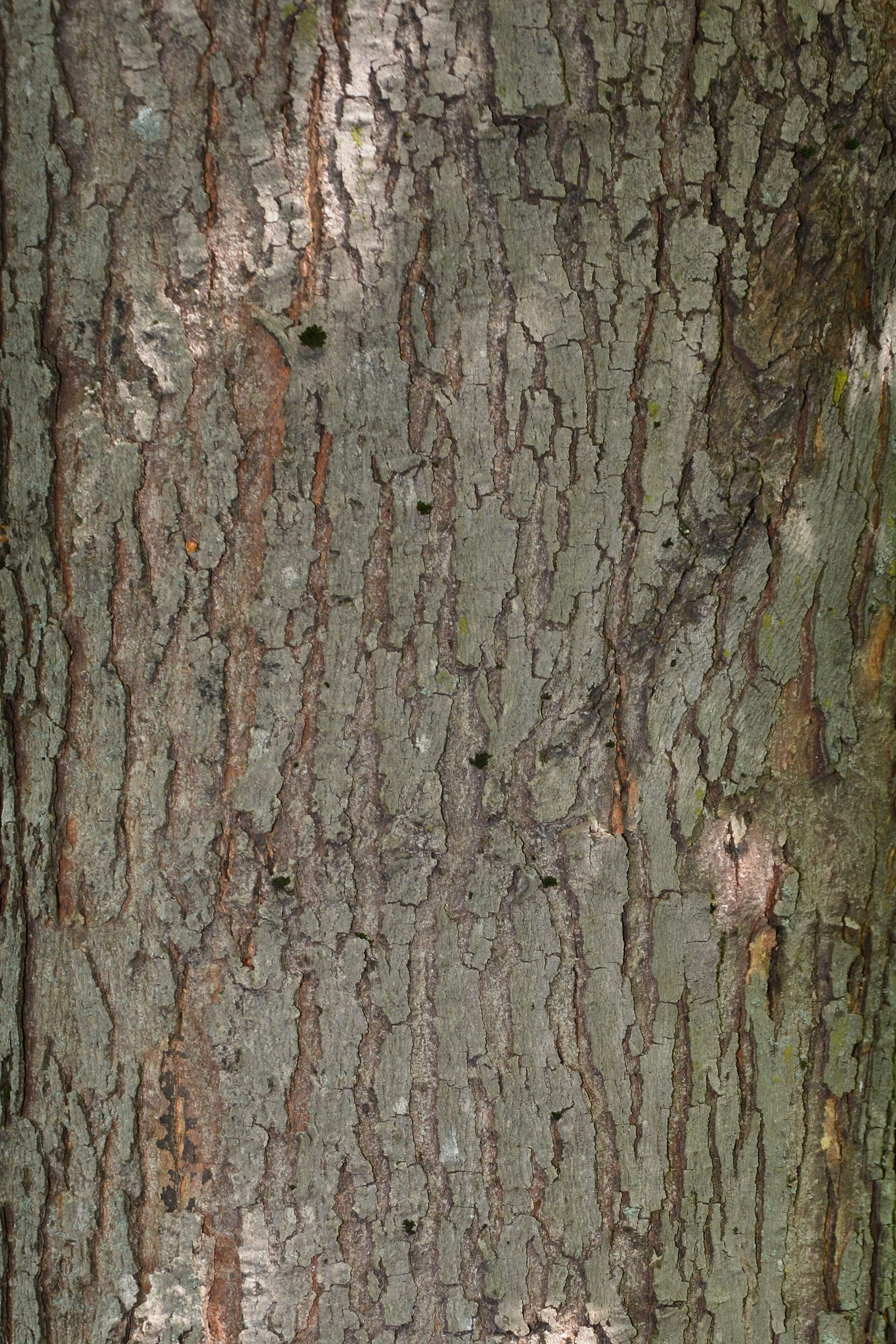 Bark of red maple photo
