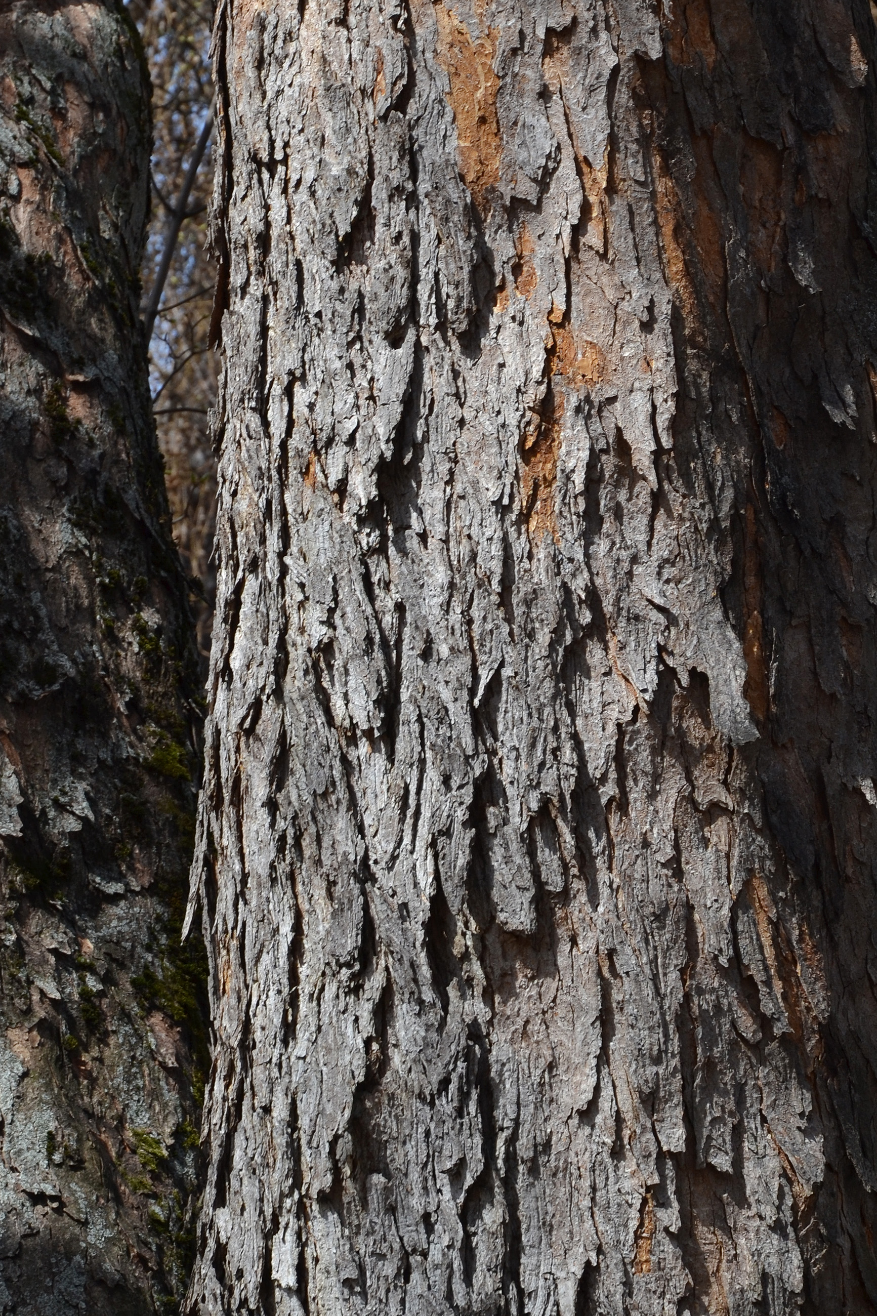 Bark of sycamore maple photo