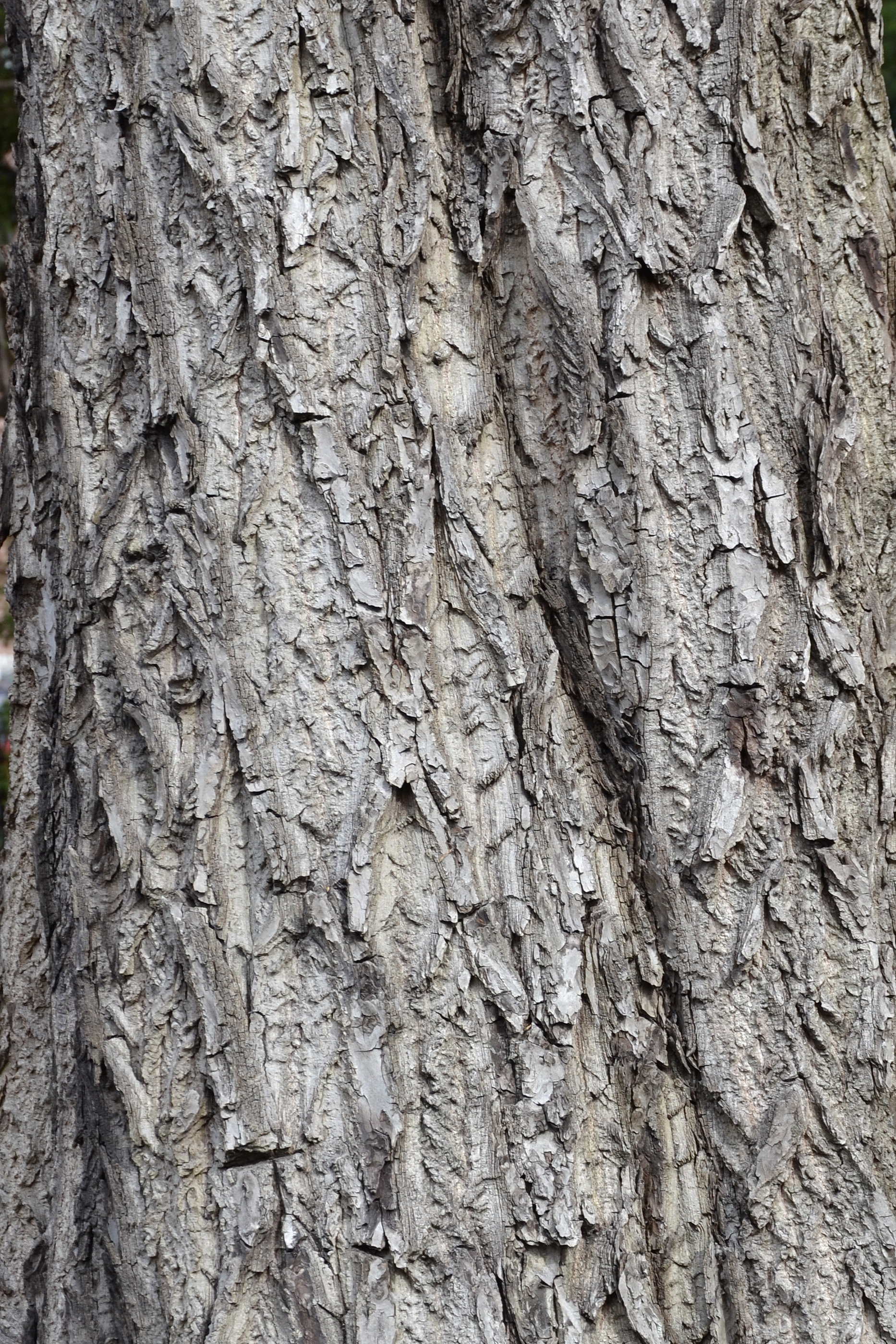 Bark of white walnut photo
