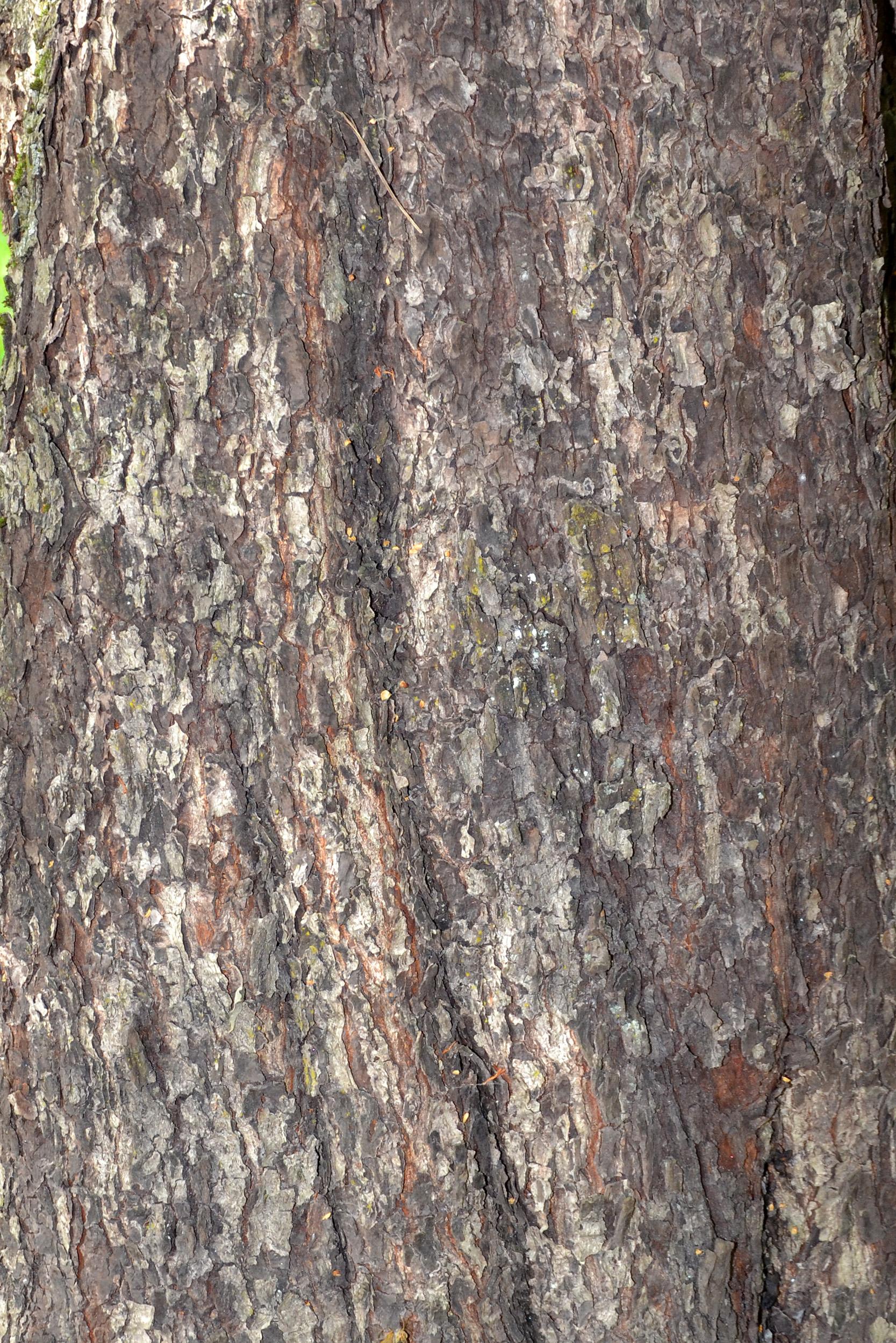 Bark of wild service tree photo