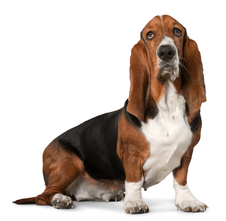 Basset hounds photo