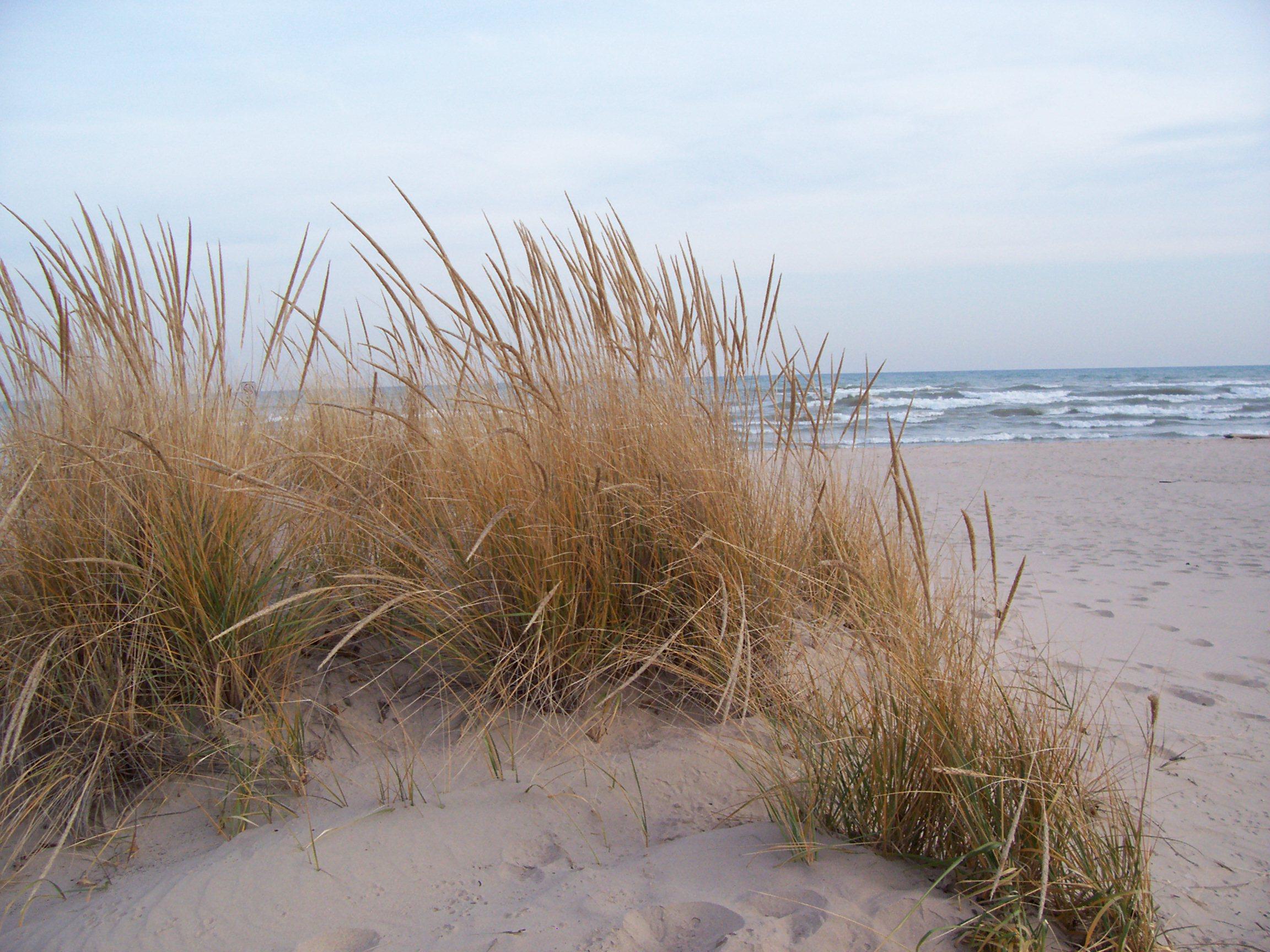Beach grass photo