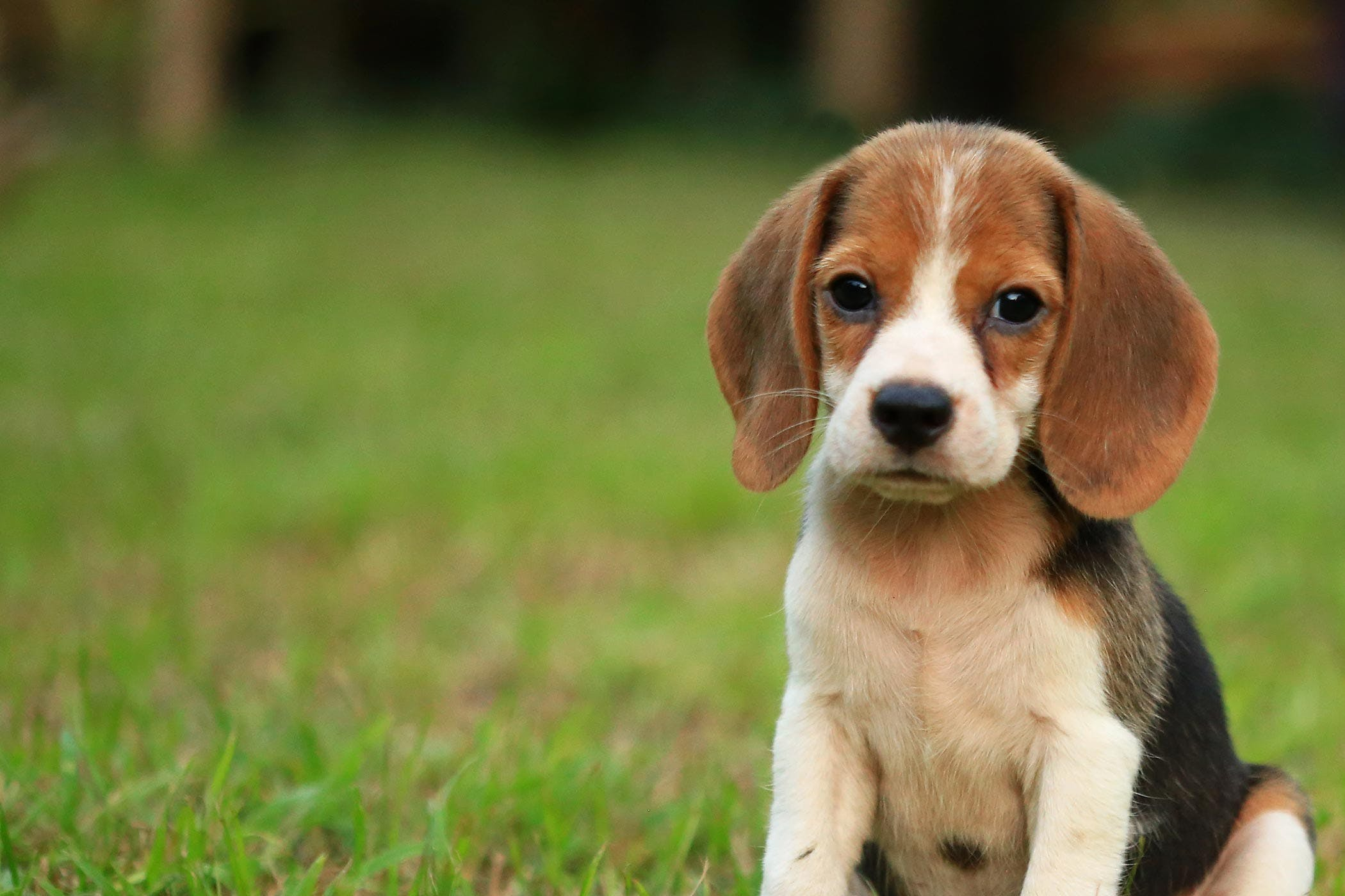 How to Train Your Beagle Dog to Be Off-Leash