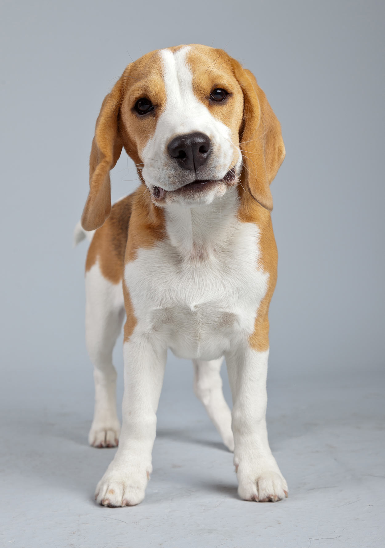 Beagle dog photo