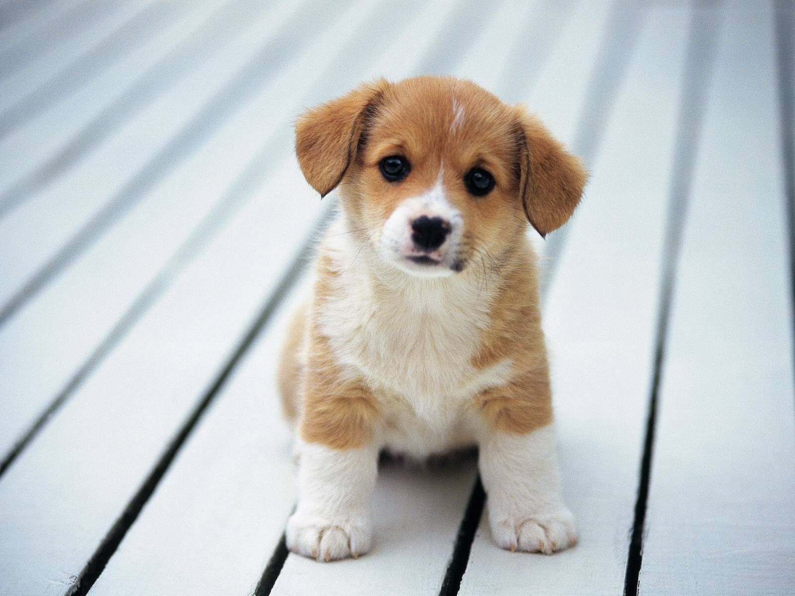 Beagle Dogs : Temperament, Exercise and Grooming - InspirationSeek.com