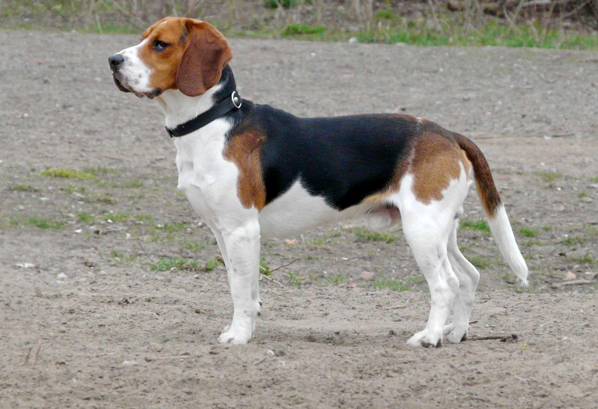Beagle Dog - ADogBreeds.com