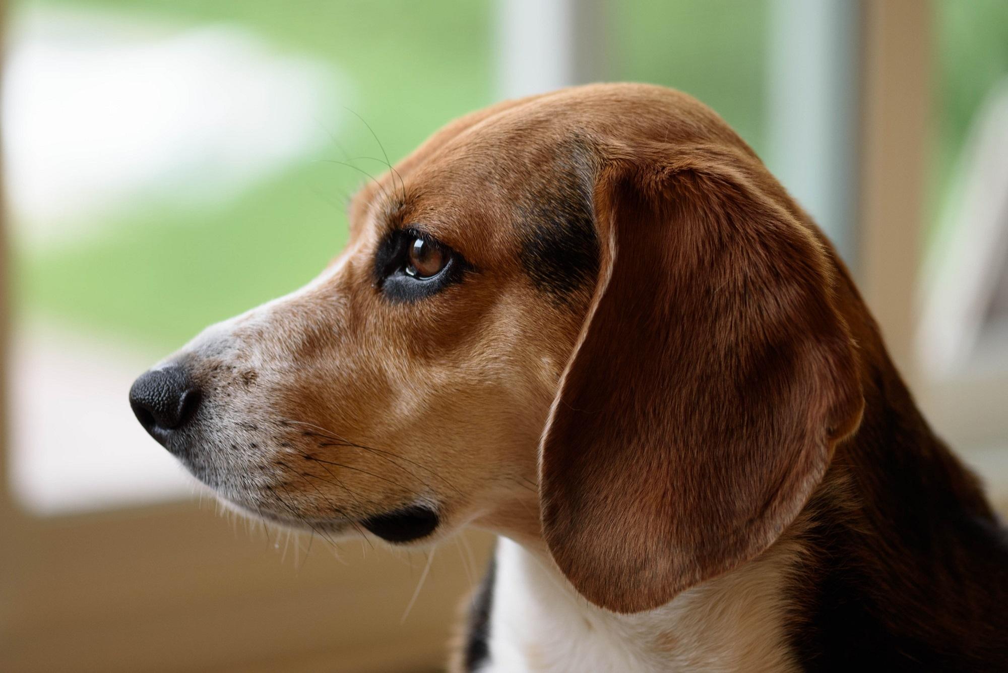 Beagle Dog, Animal, Beagle, Dog, Friend, HQ Photo