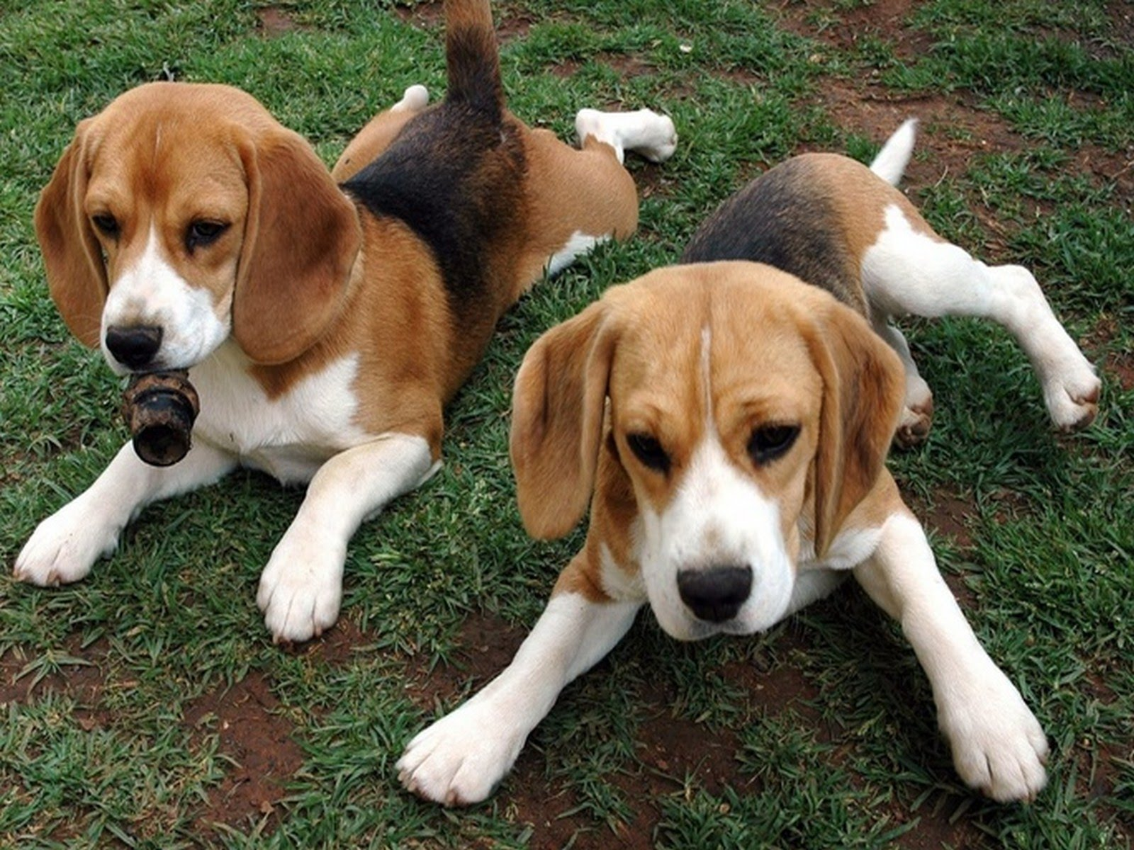Beagle Dog - YouTube