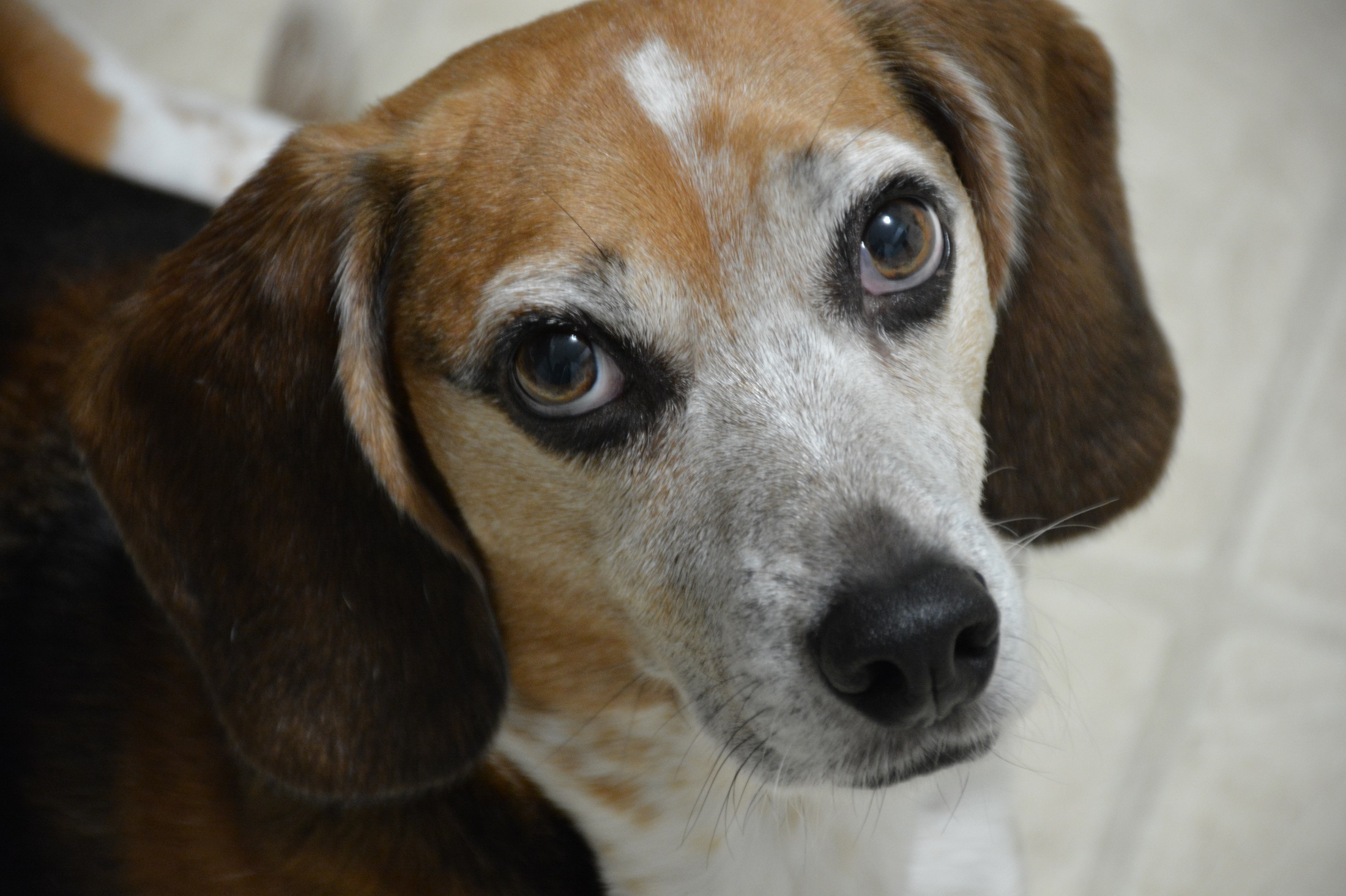Beagle Dog, Animal, Beagle, Dog, Friend, HQ Photo