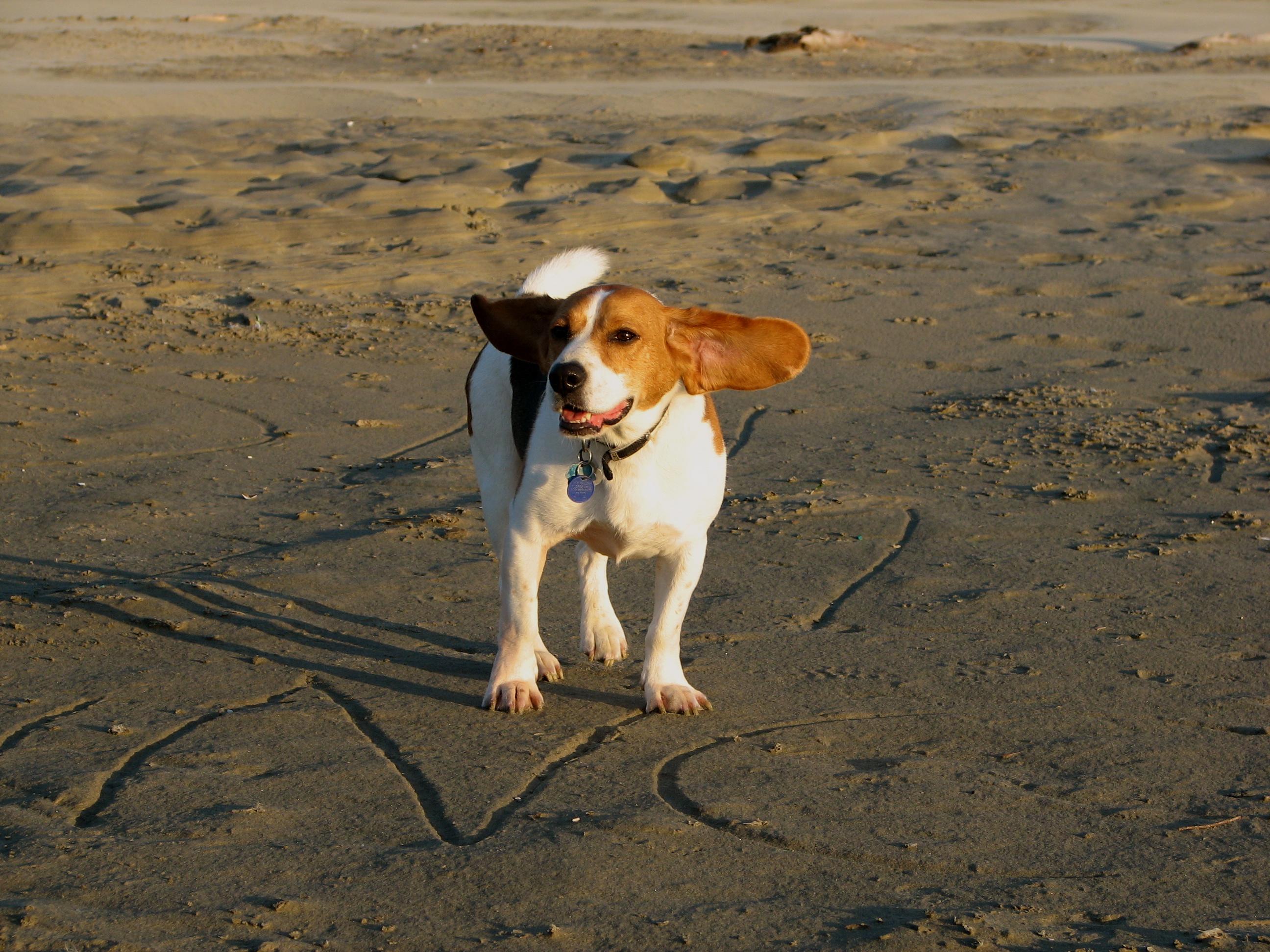 Beagle on the beach, Beach, Beagle, Dog, Pet, HQ Photo