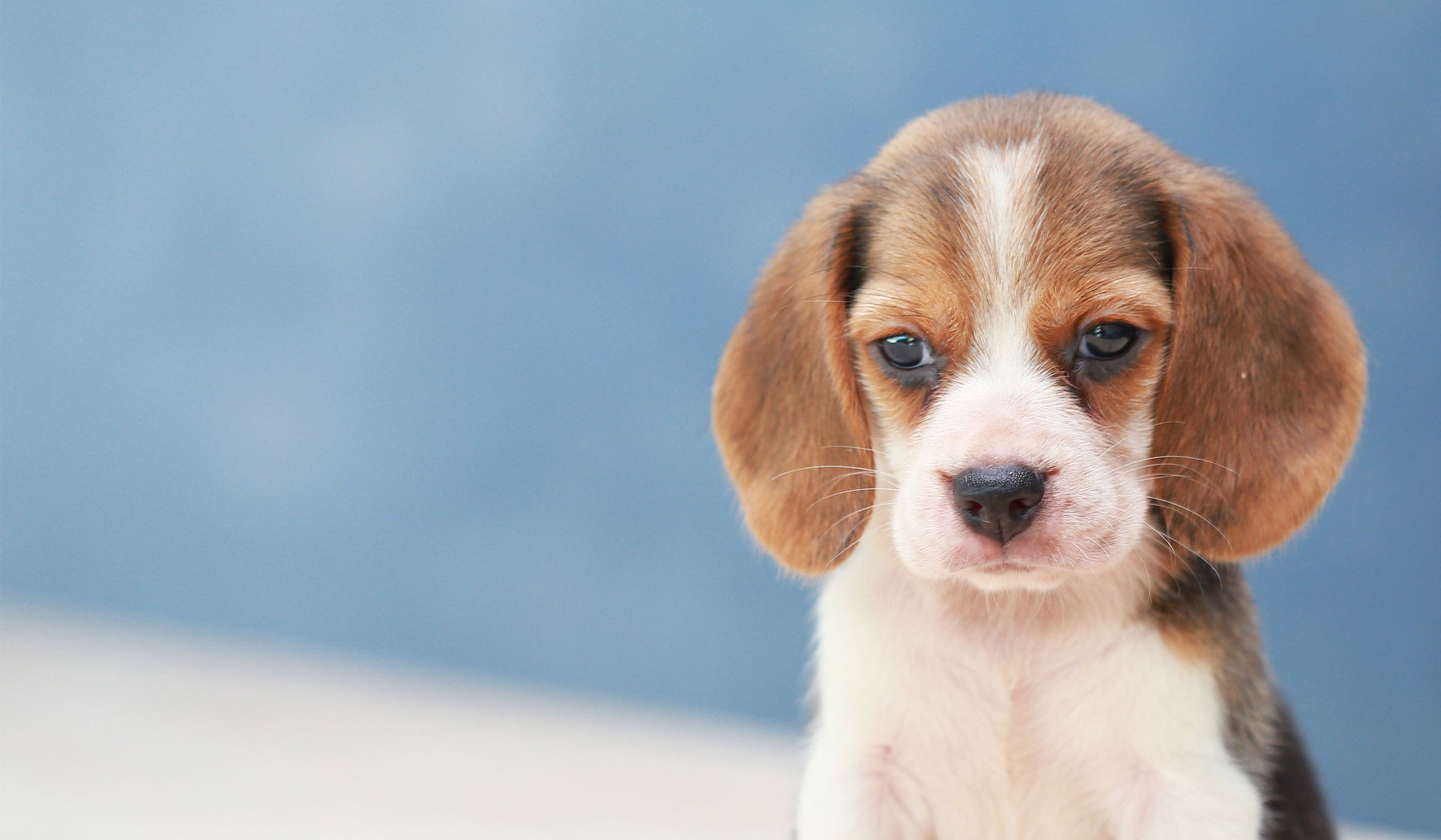 How to Crate Train a Beagle Puppy
