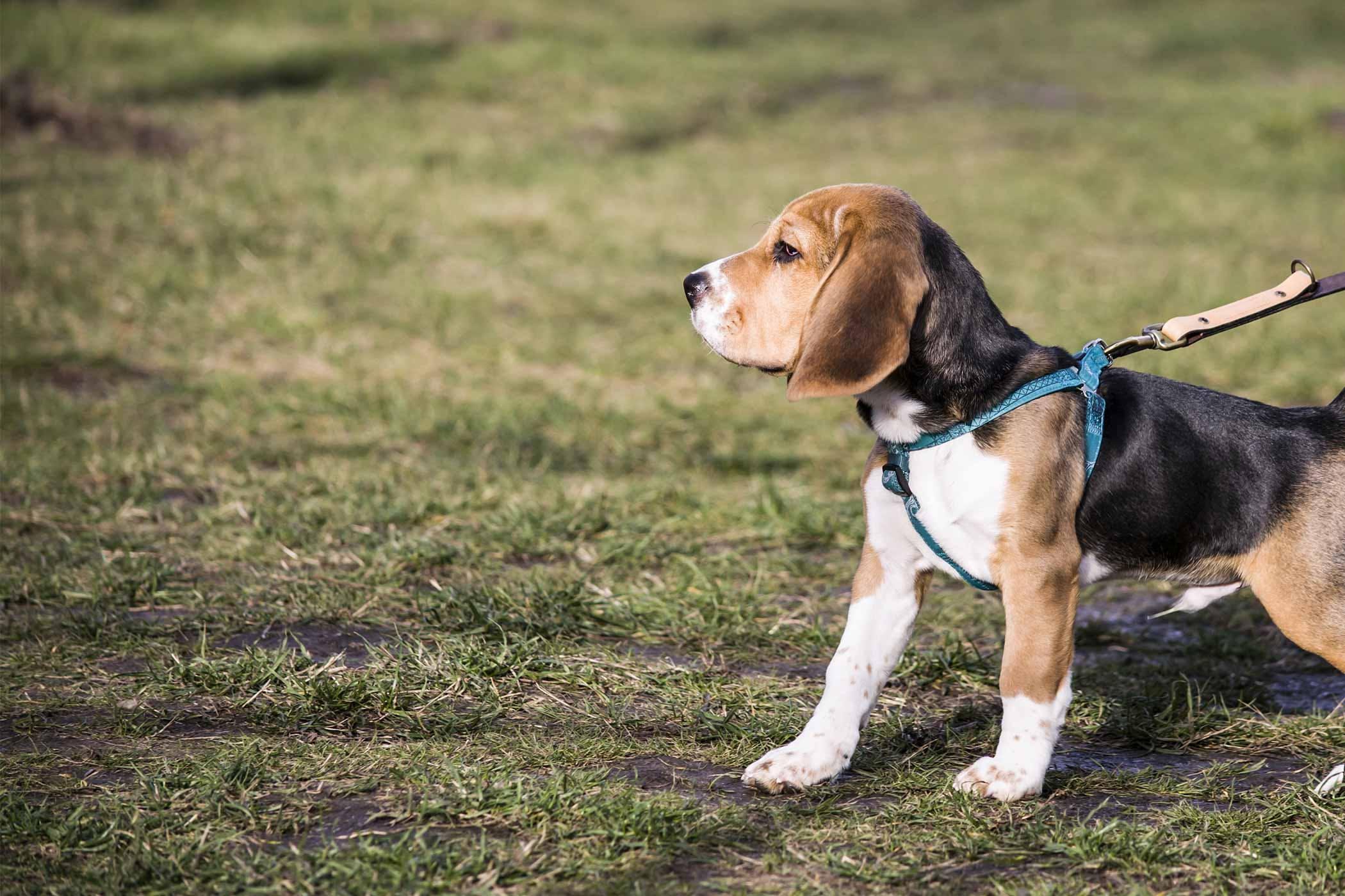 How to Leash Train a Beagle Puppy