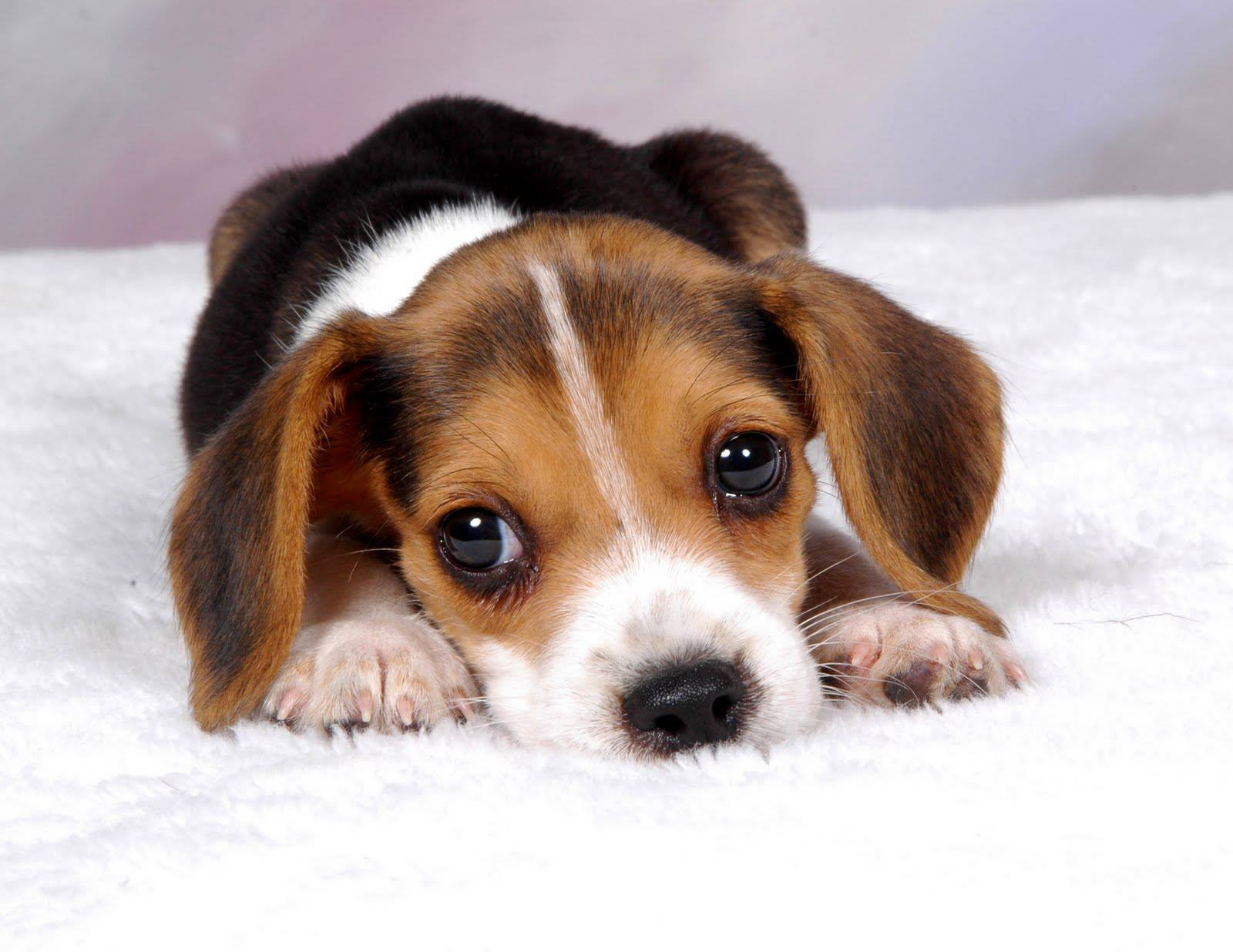 How much does a Beagle Puppy cost? - Annie Many