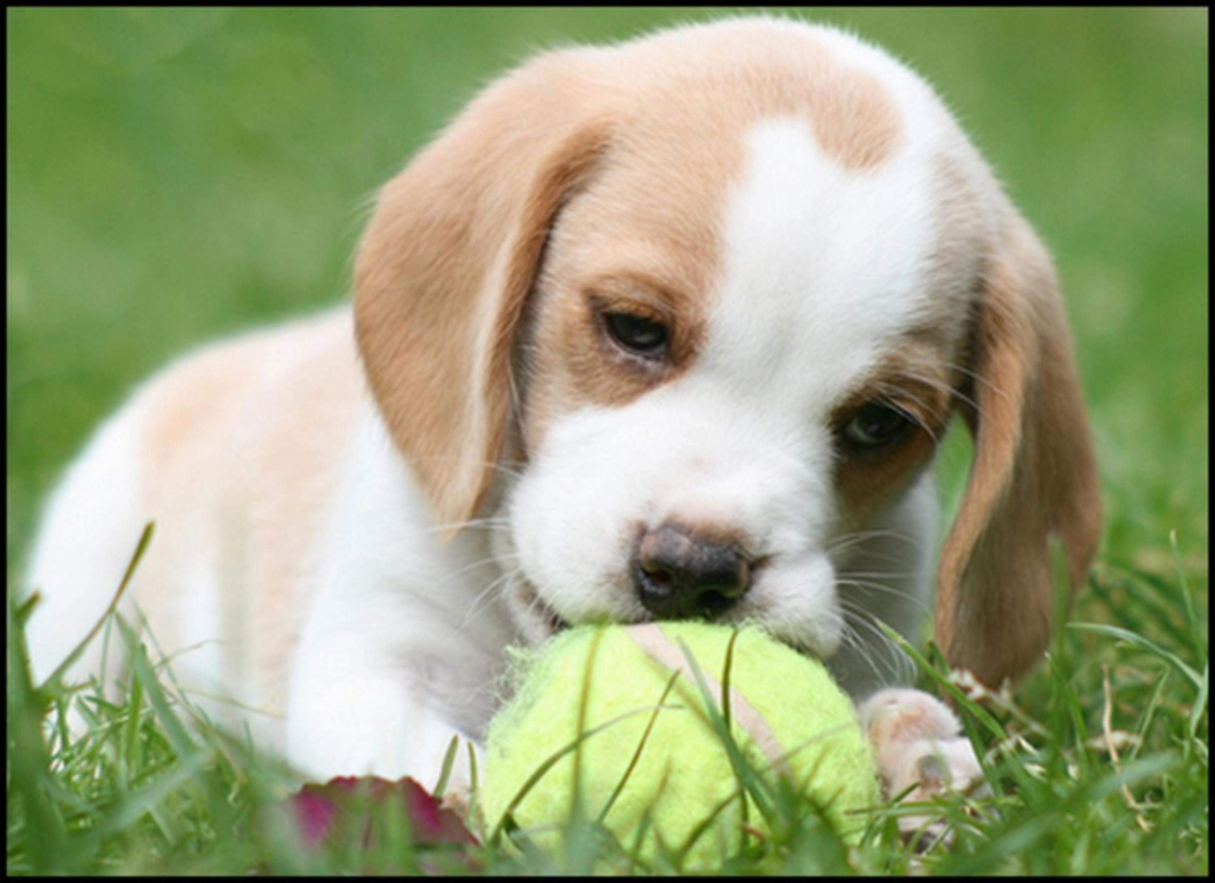 Lemon Beagle Puppy | Lemon beagle puppy, Lemon beagle and Beagle