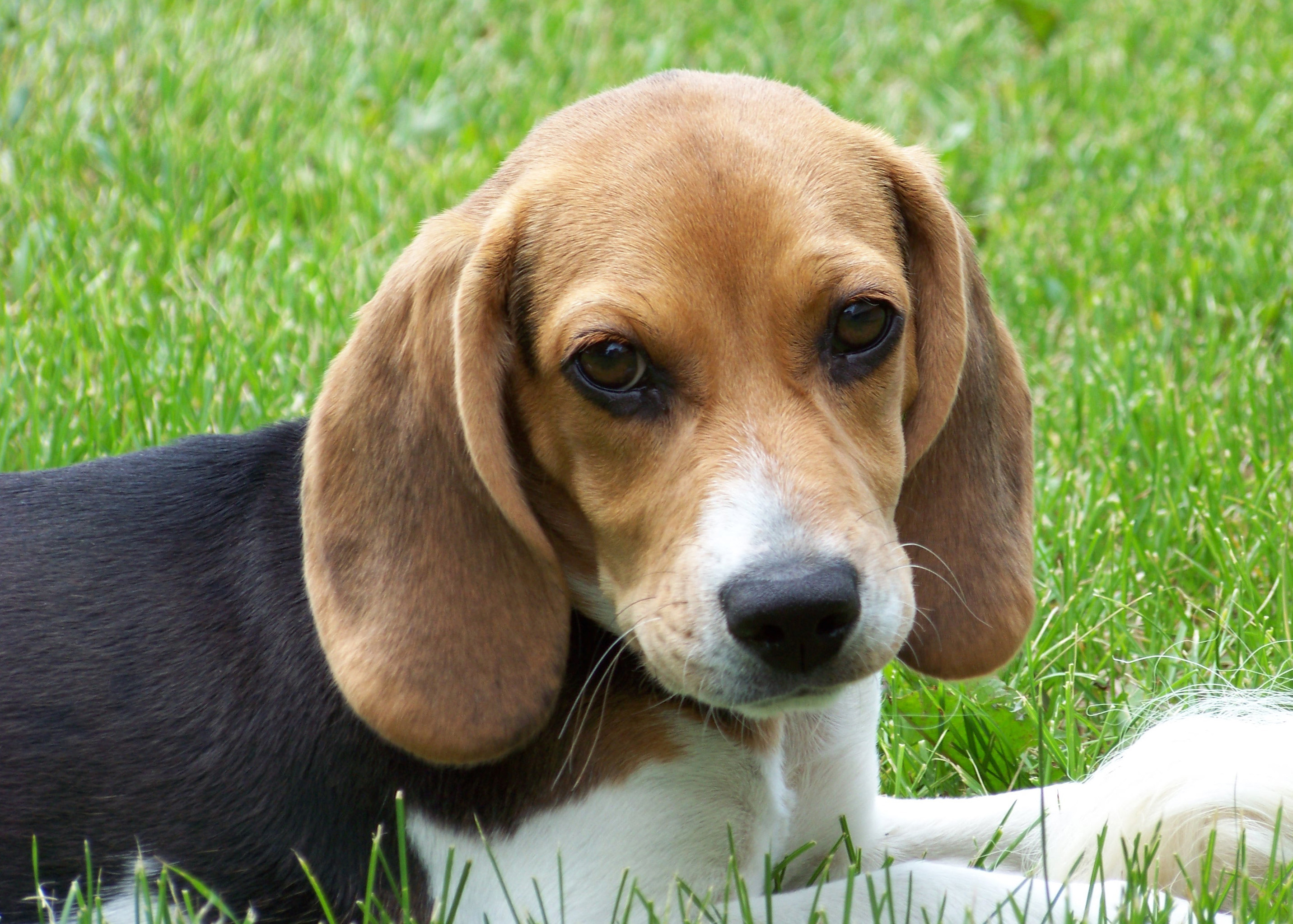File:Cute beagle puppy lilly.jpg - Wikimedia Commons
