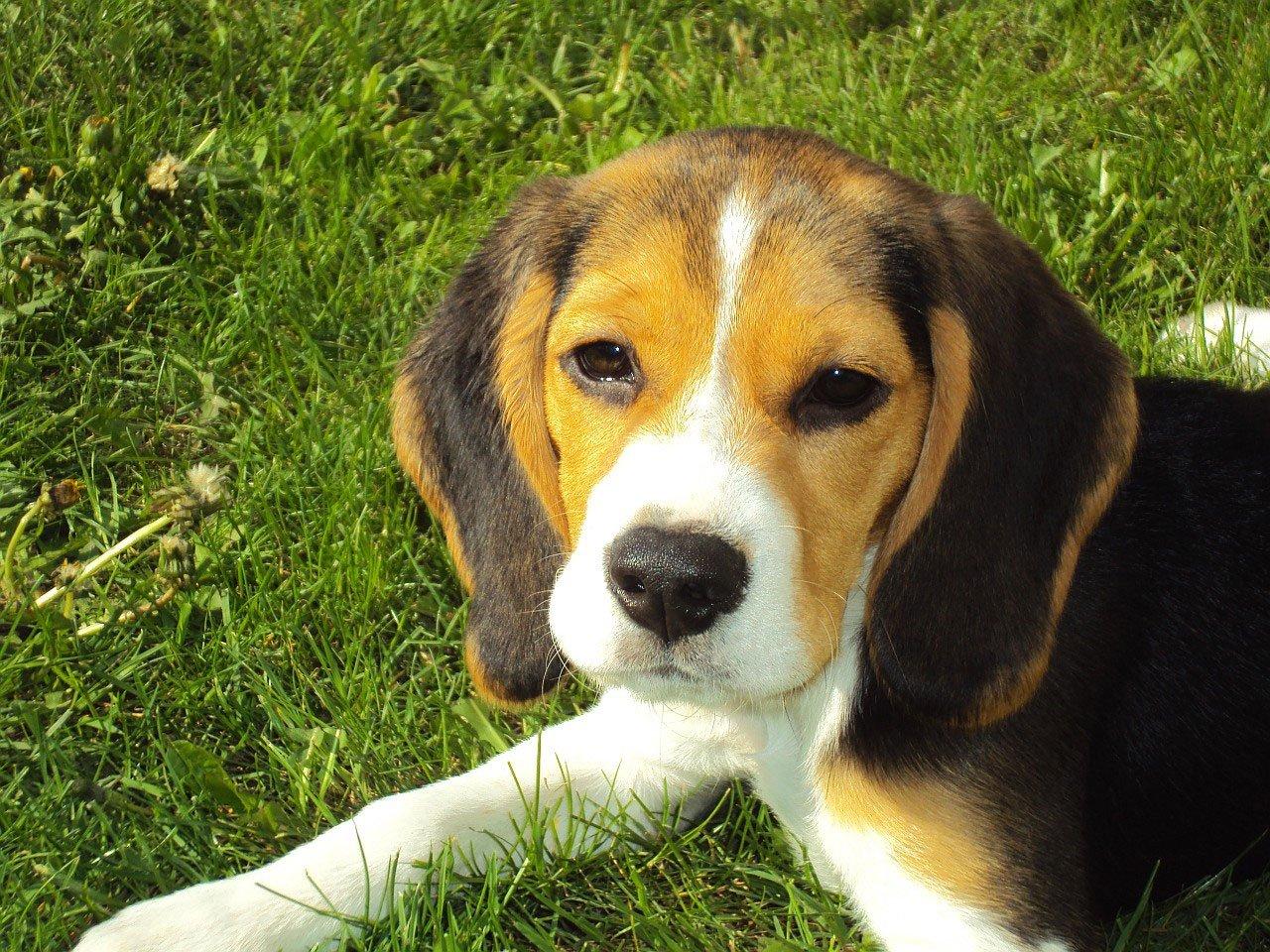 Beagle Puppy, Animal, Beagle, Dog, Friend, HQ Photo
