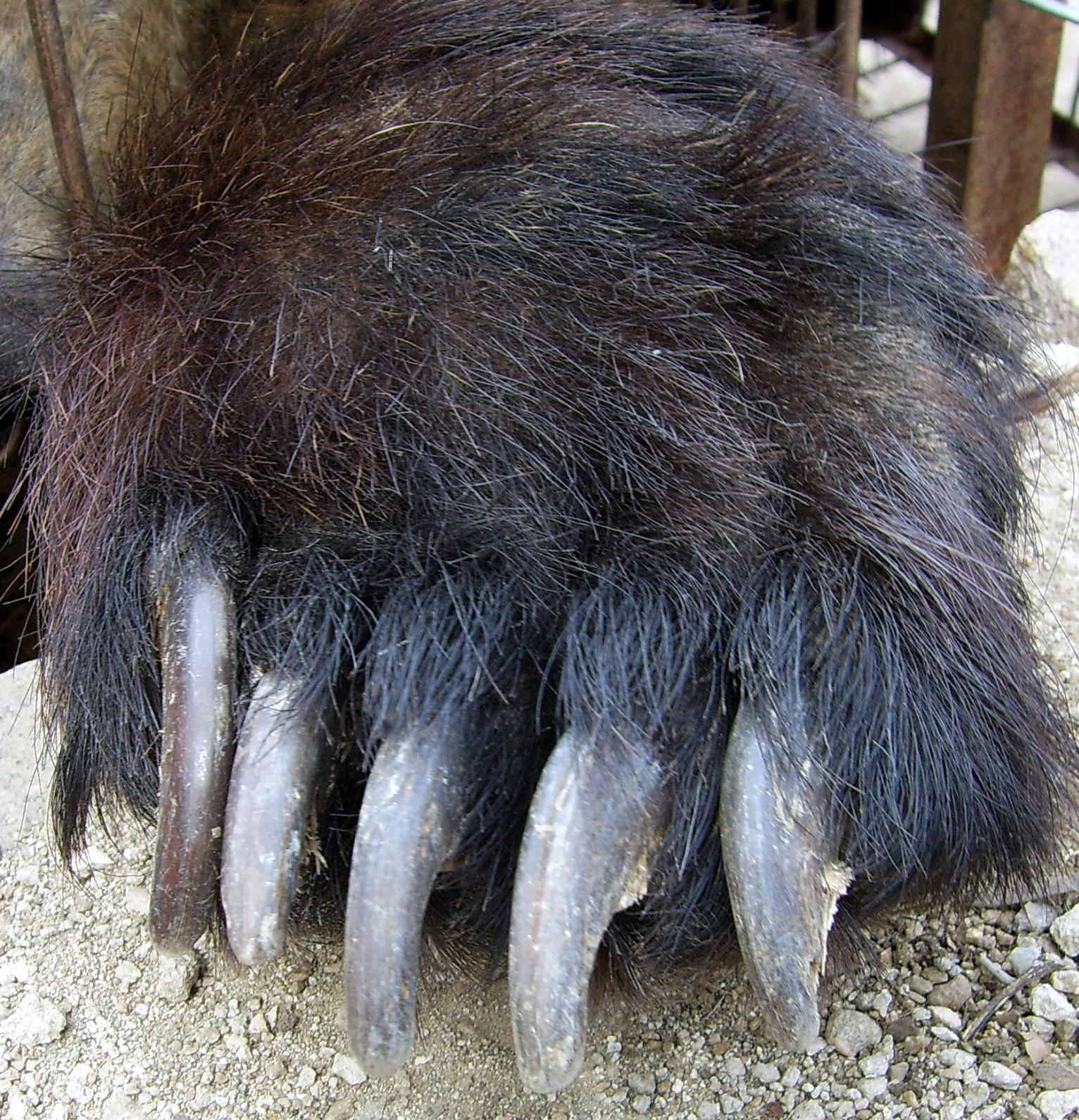 File:Bear paw.jpg - Wikimedia Commons