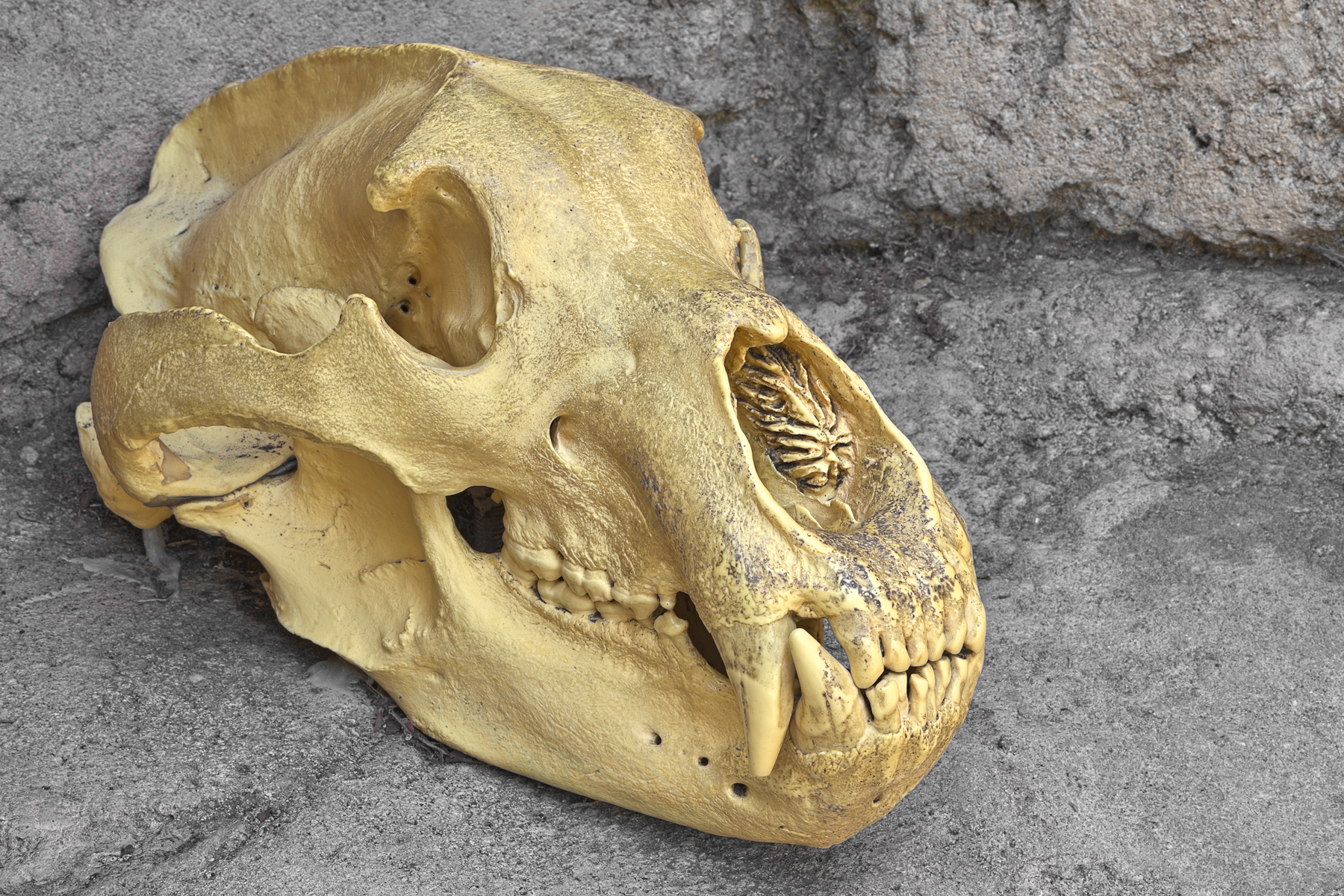 Bear Skull Close-up - HDR, Anatomical, Object, Raw, Range, HQ Photo