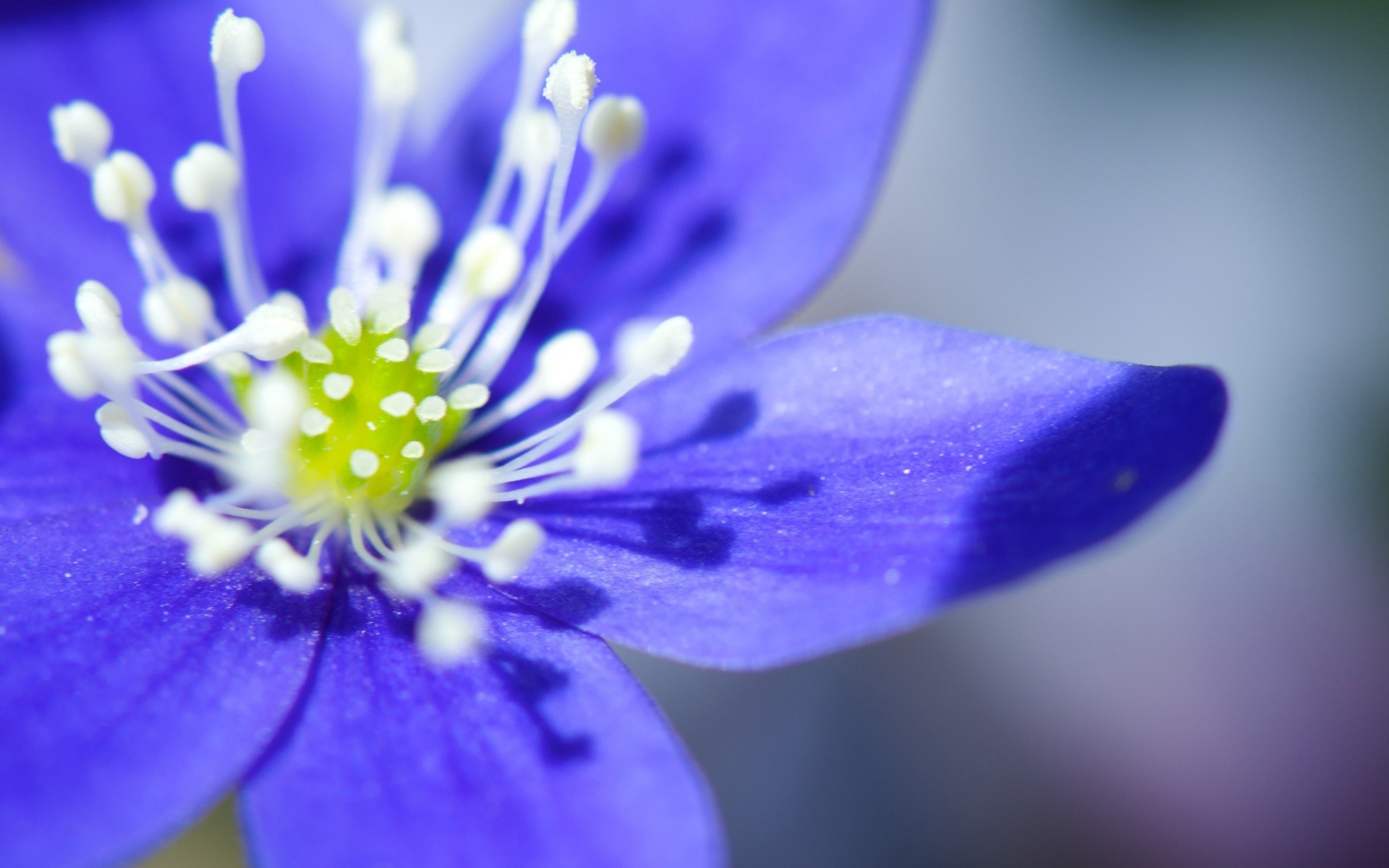 Free Photo Blue Flower Macro Plant Purple Macro Free Download