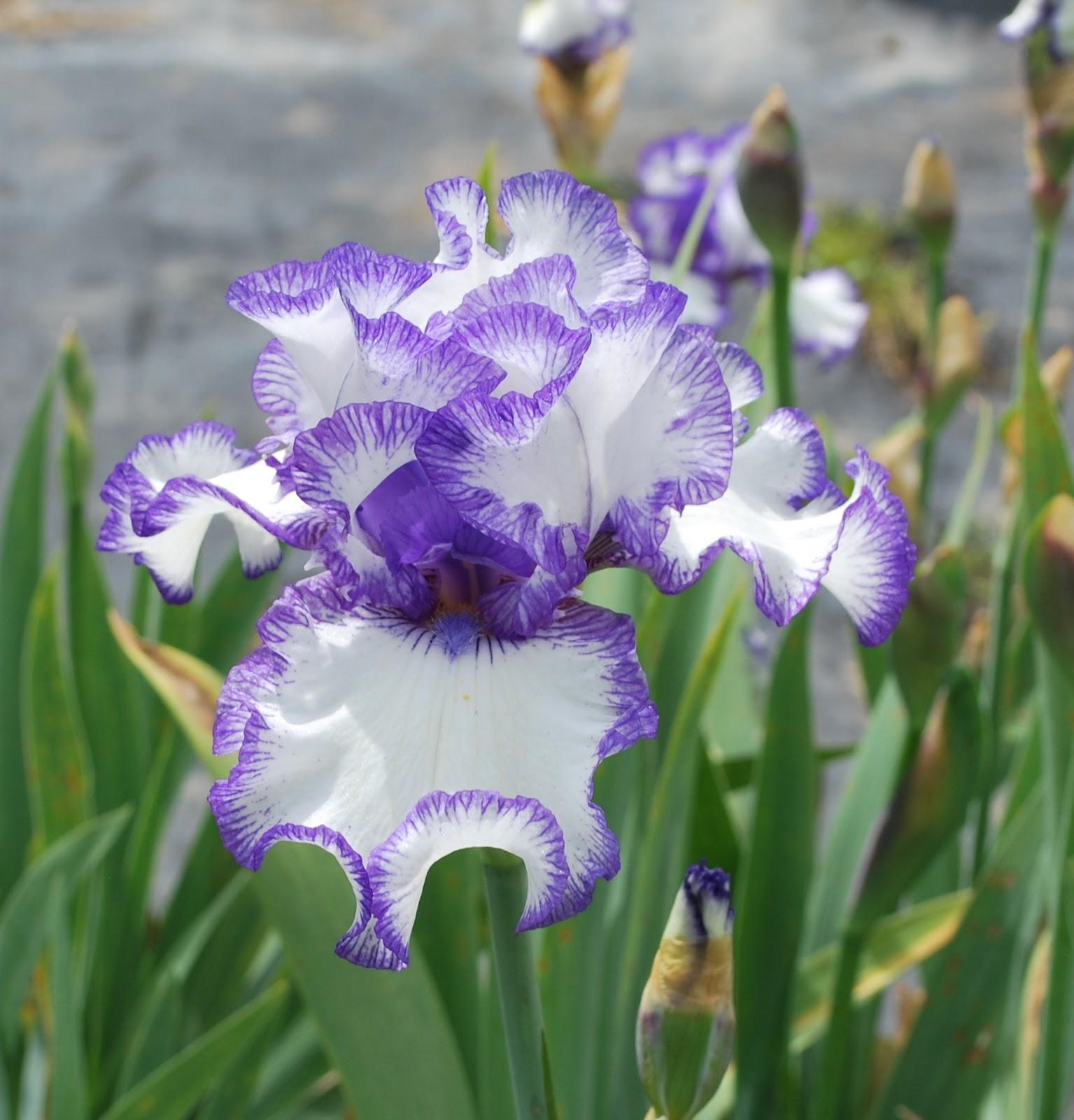 Free Photo Beautiful Iris Iris Nature Purple Free Download
