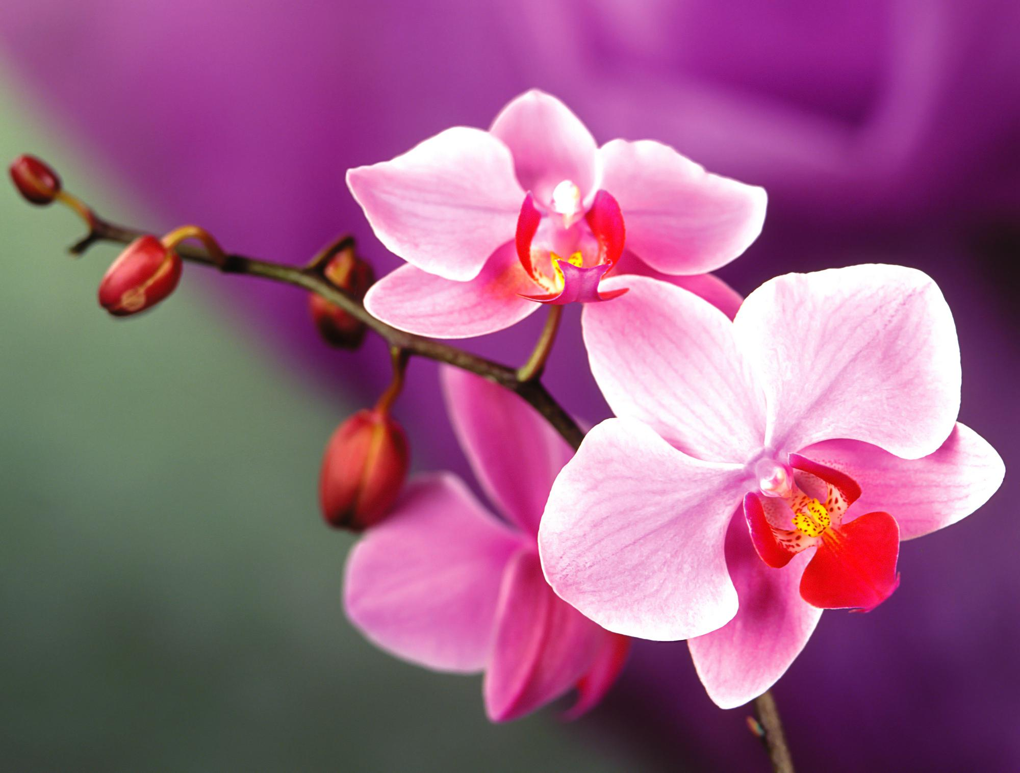 Free Photo Beautiful Orchids Orchid Petal Phalaenopsis Free