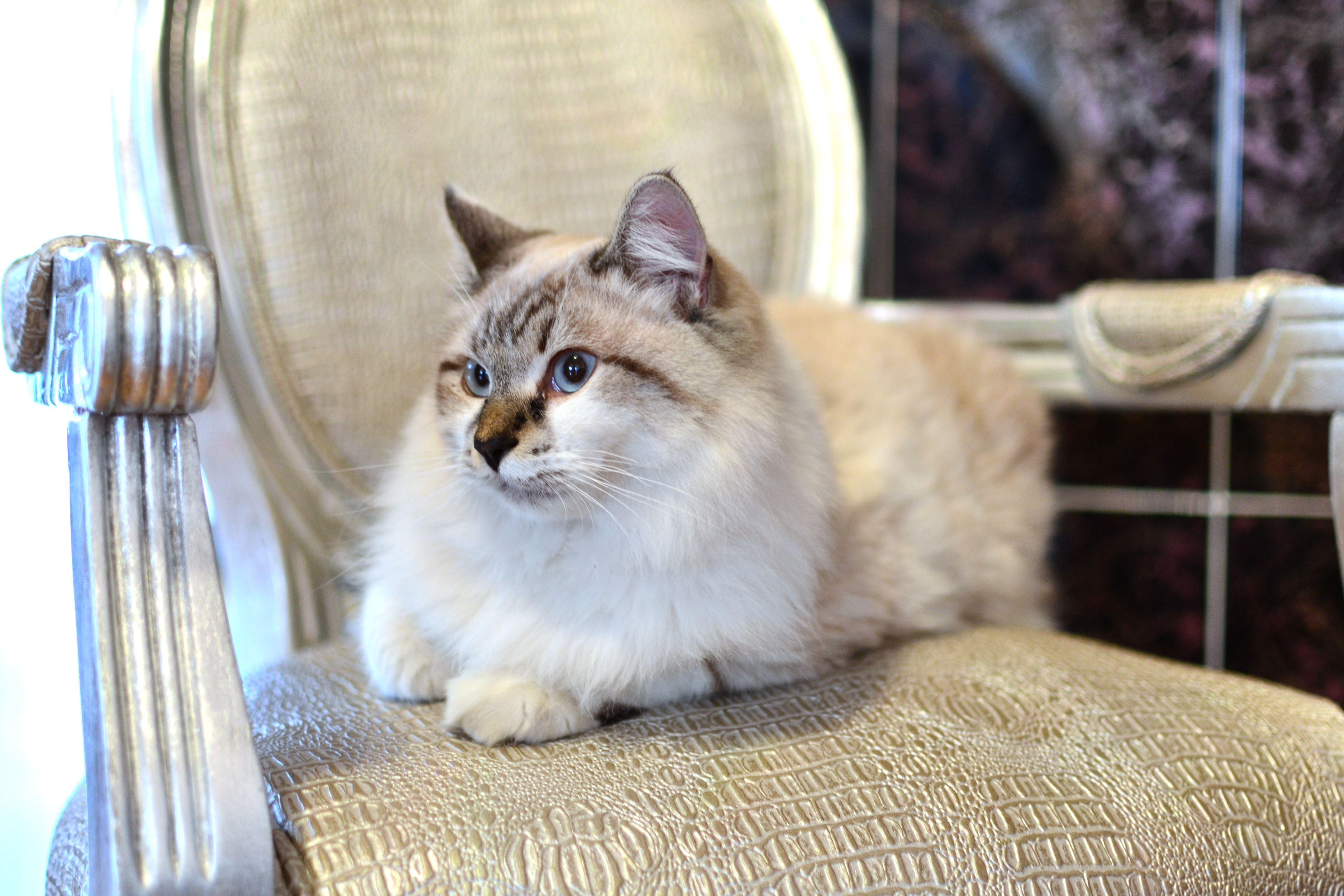 Beautiful Persian Cat, Animal, Loving, Wallpaper, Studio, HQ Photo