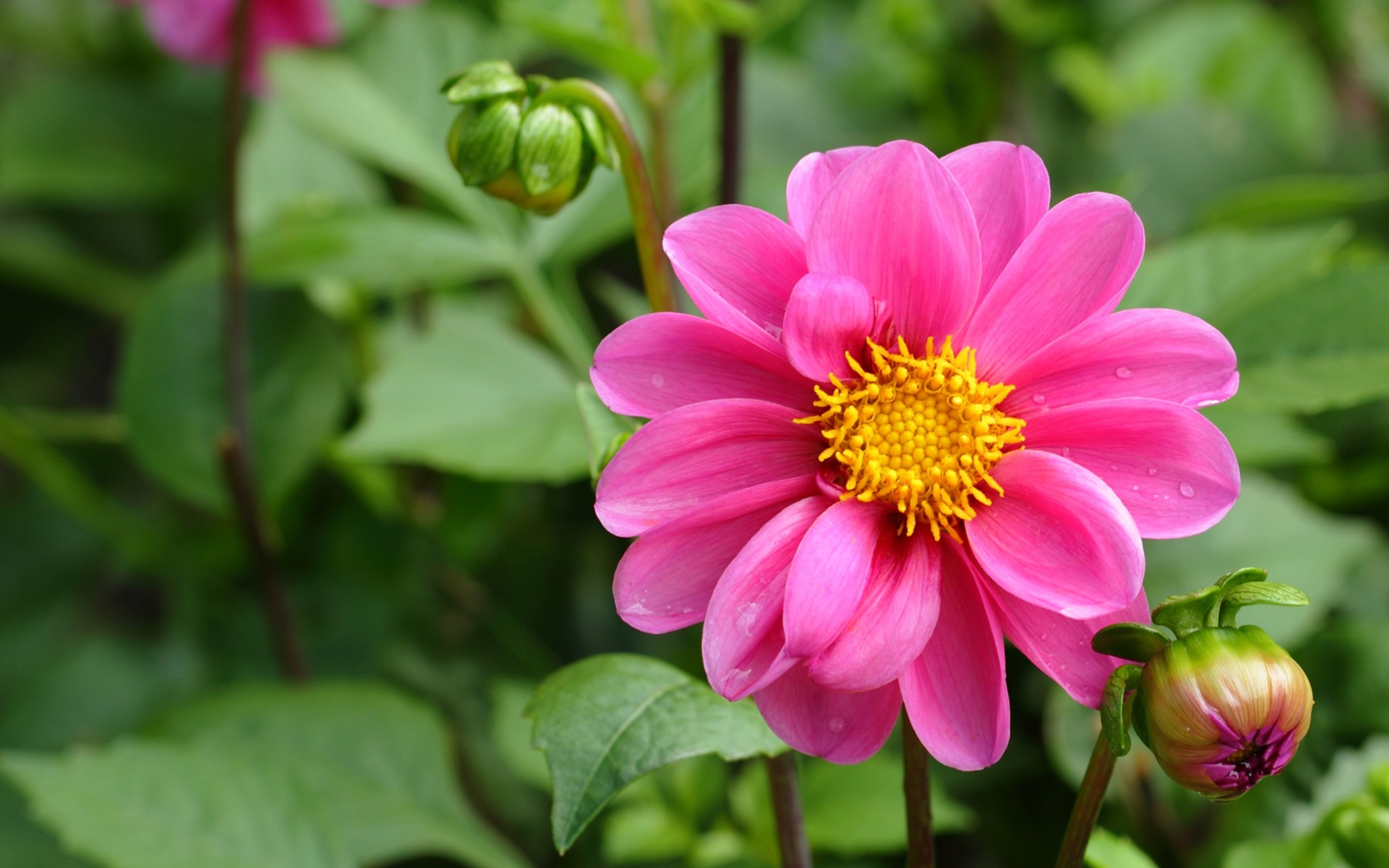 Free photo: Beautiful pink flower - Garden, Natural, Nature - Free ...