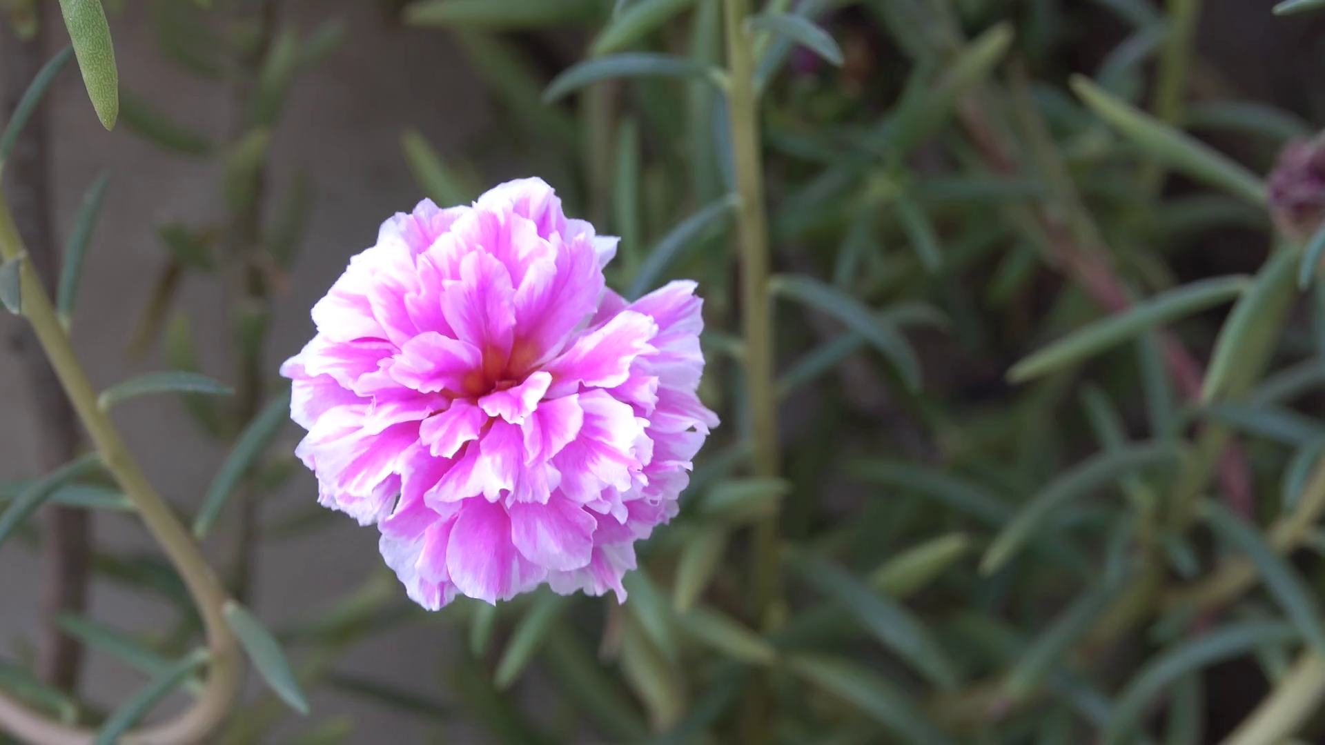 Free Photo Beautiful Pink Flower Nature Natural Outdoors Free