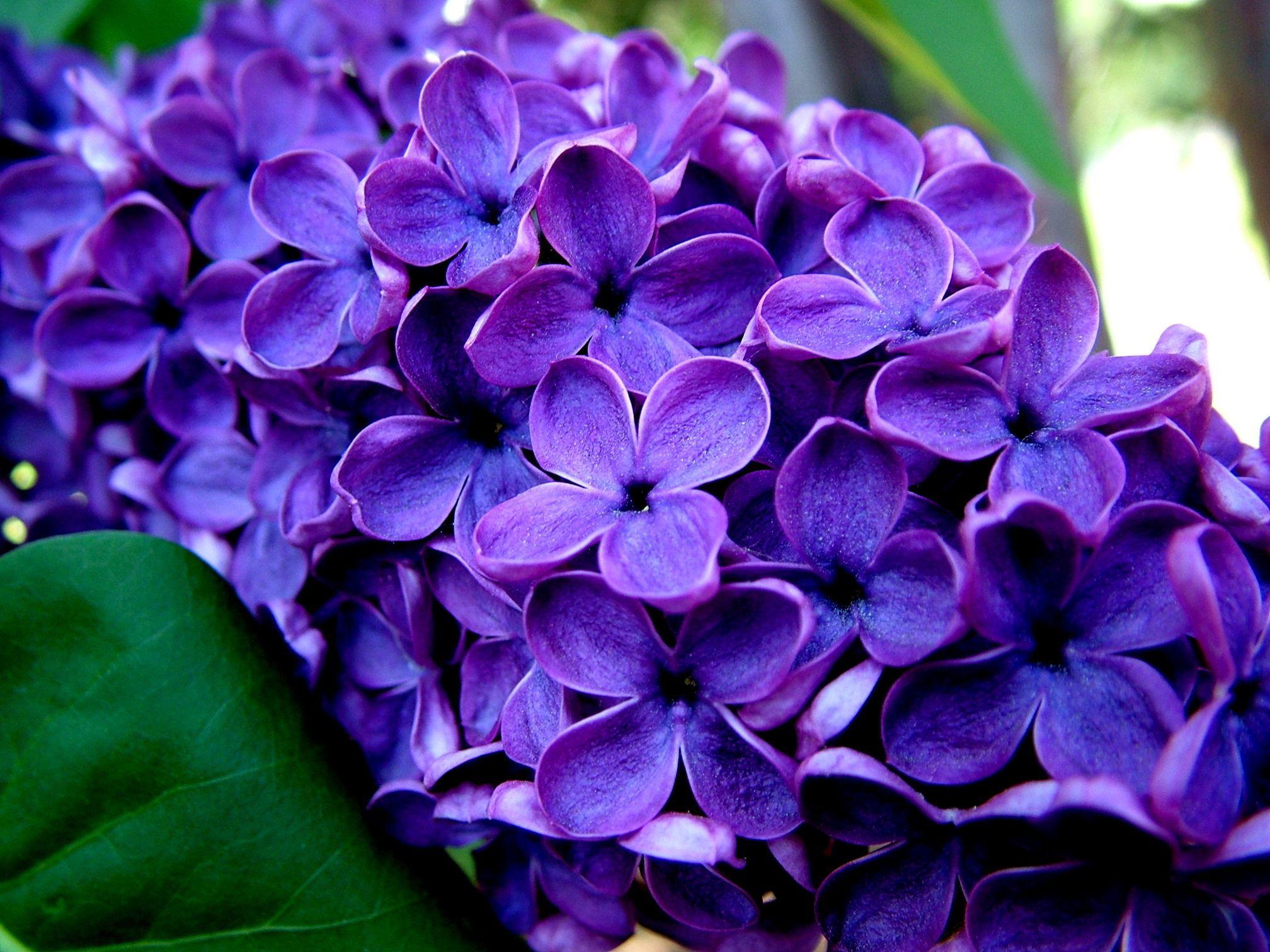 Free Photo Beautiful Purple Flower Scene Purple Beautiful