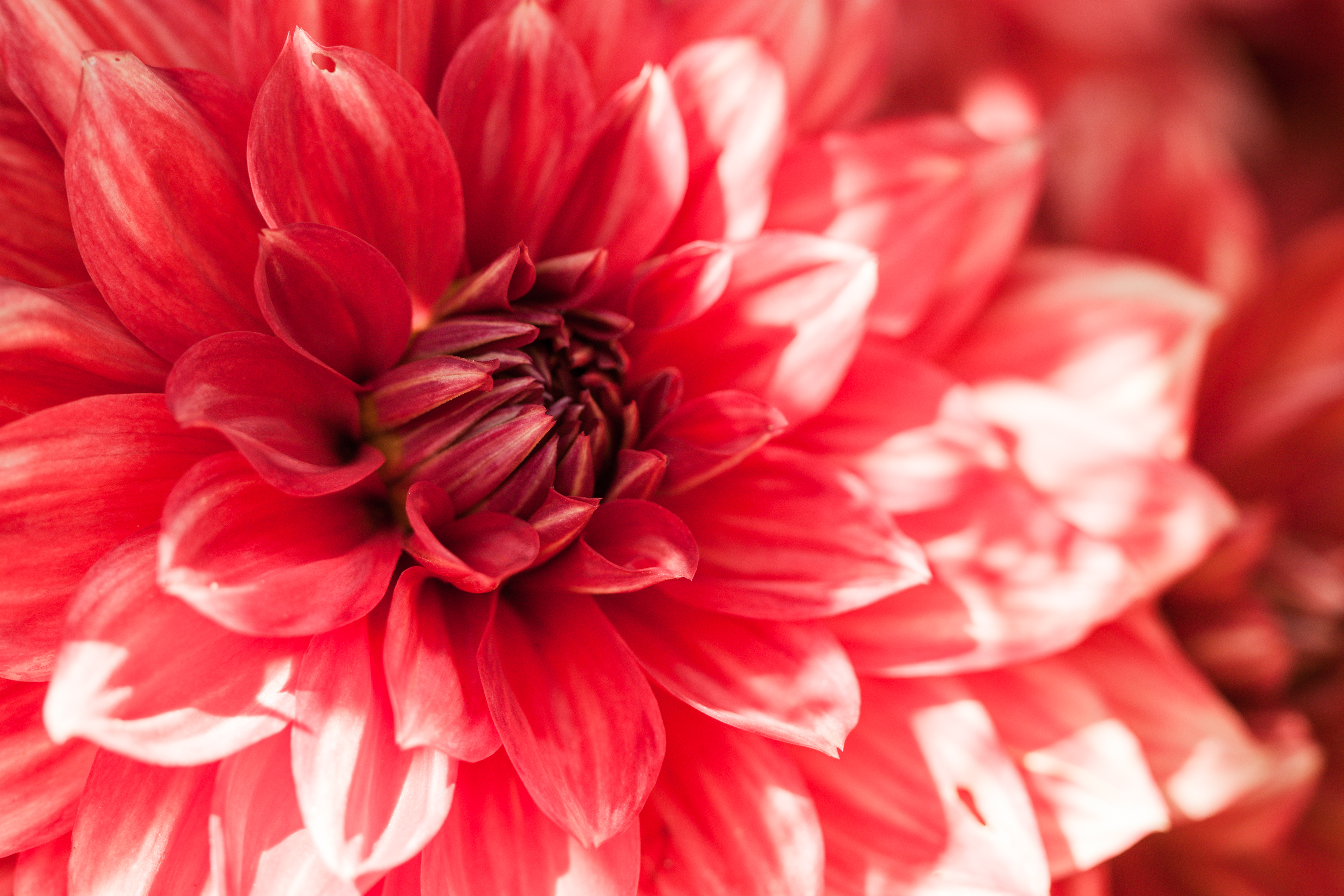 Free photo beautiful red flower garden natural plant free beautiful red flower photo izmirmasajfo