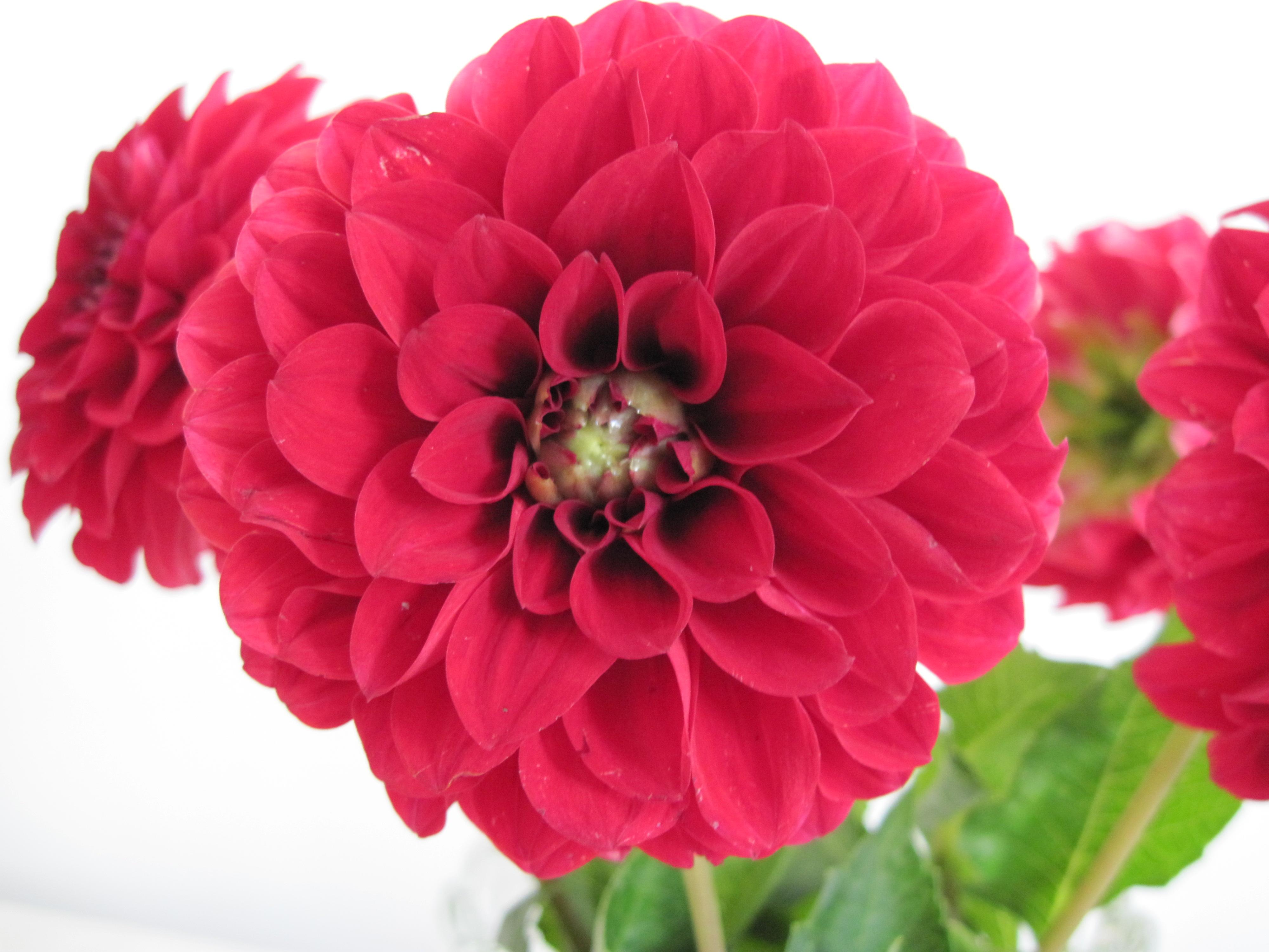 Free photo beautiful red flower garden natural plant free beautiful red flower izmirmasajfo