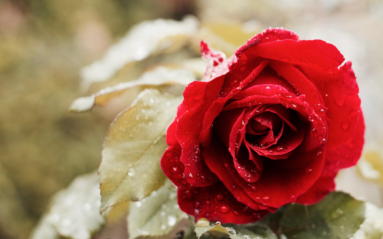 Free Photo Beautiful Red Rose Red Nature Rose Free Download