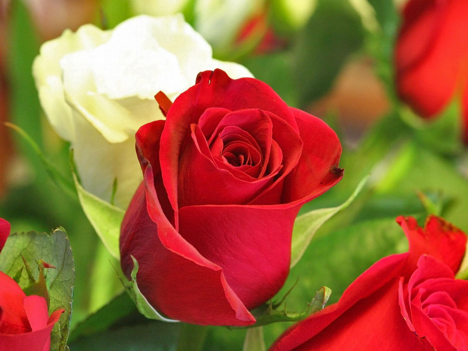 Free Photo Beautiful Rose Red Pedals Nature Free Download