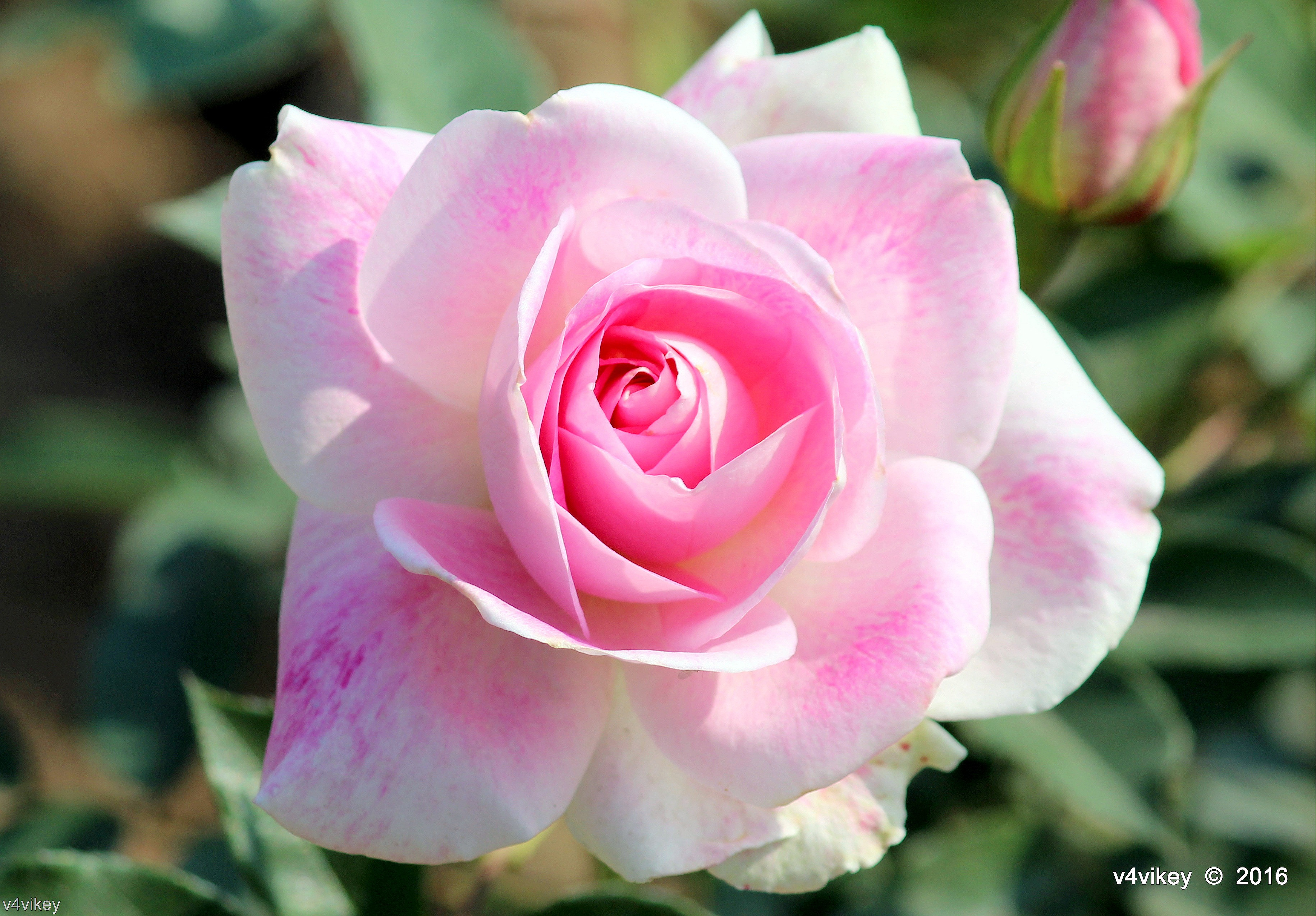 Free photo beautiful rose red pedals nature free download beautiful rose izmirmasajfo