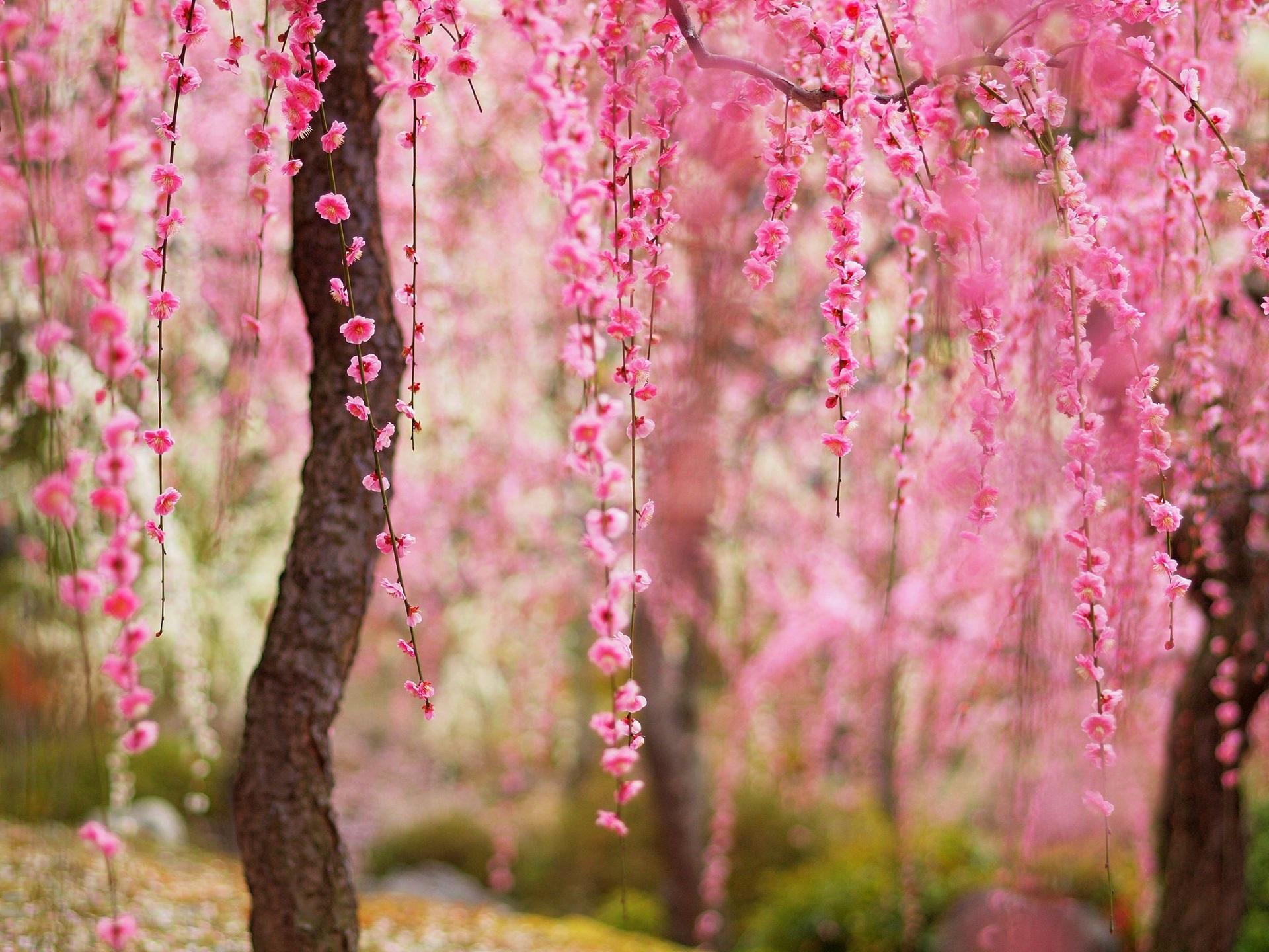 Beautiful spring, pink flowers bloom, trees wallpaper | flowers ...
