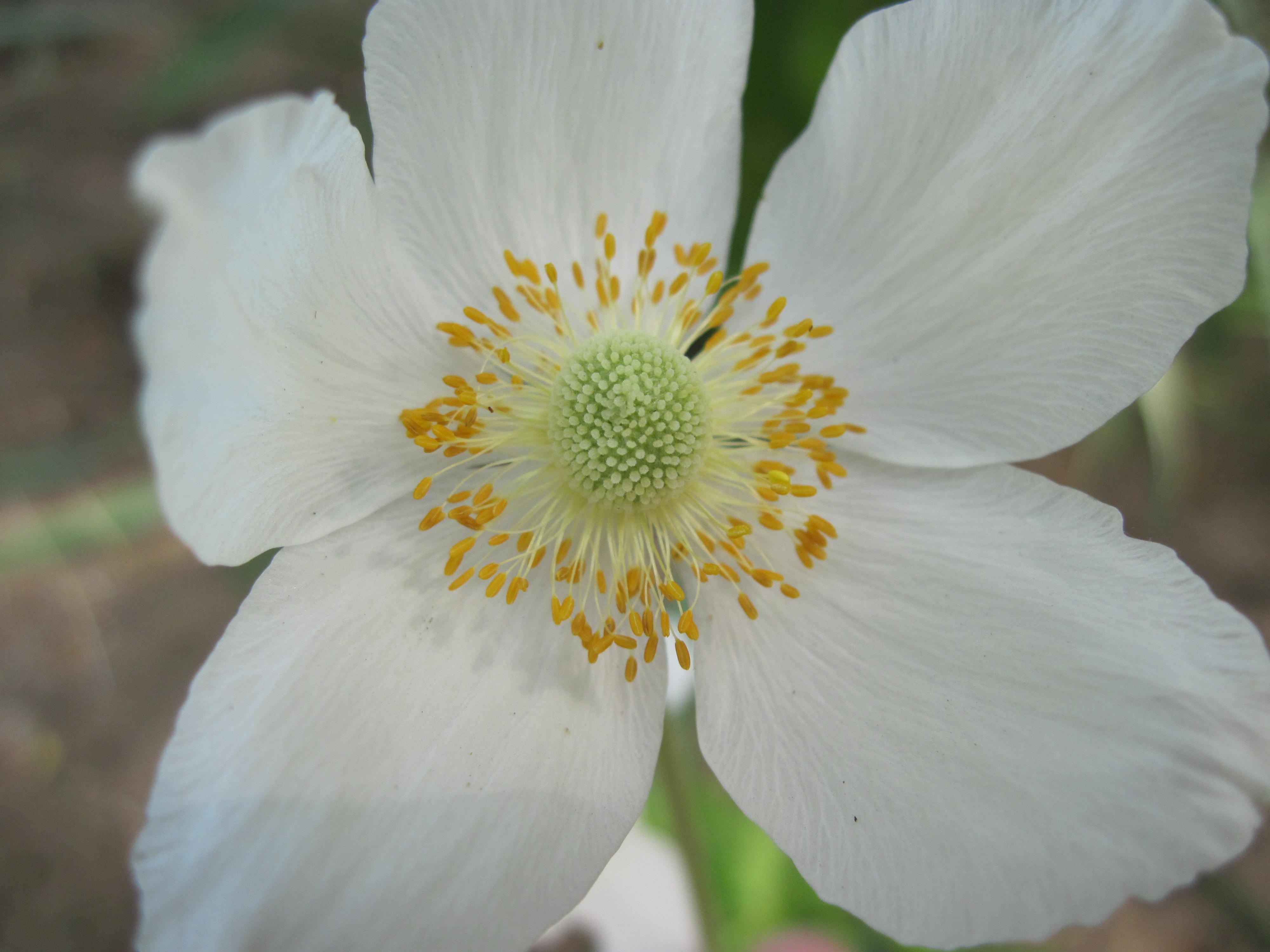 Free photo beautiful white flower park nature natural free beautiful white flower izmirmasajfo