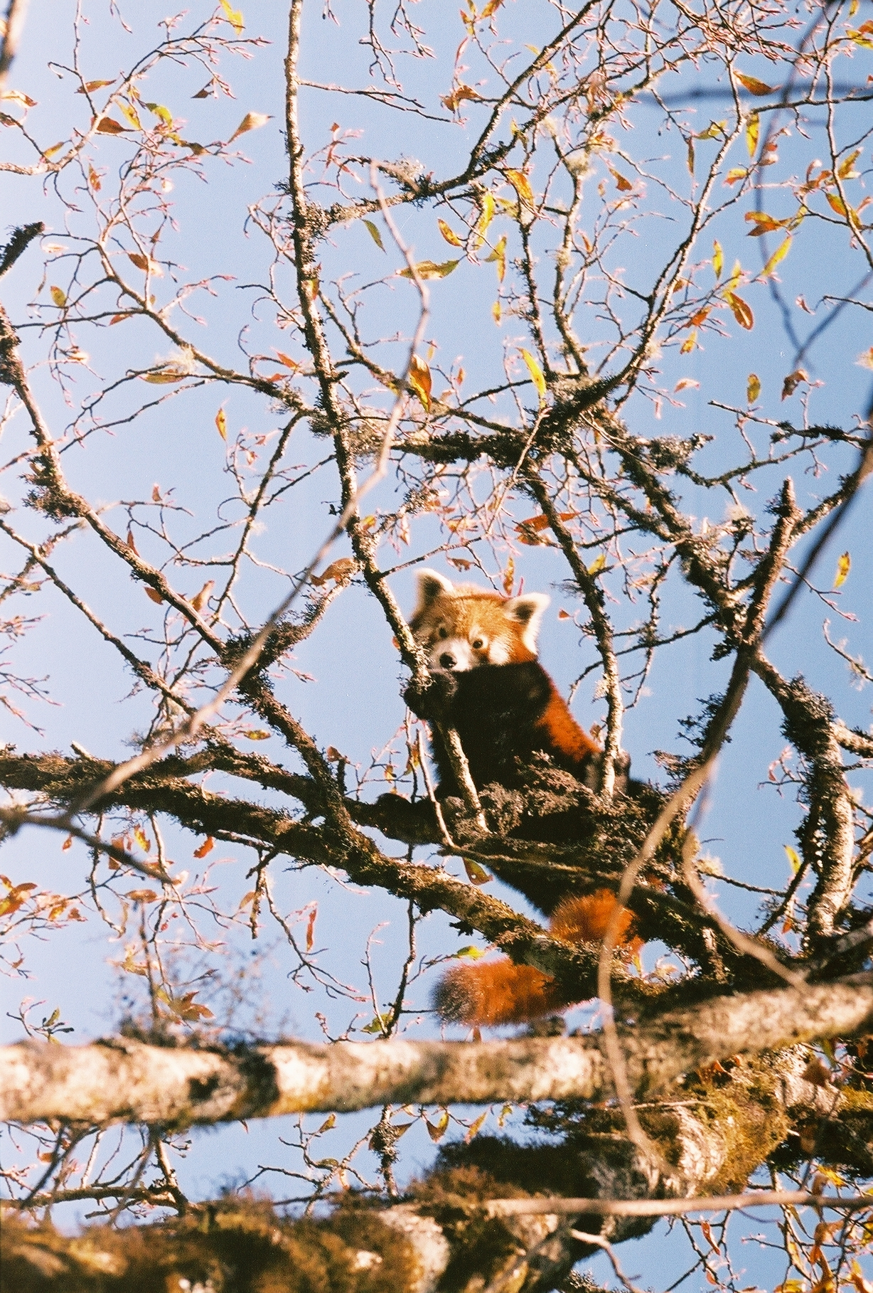 Beautiful wild red panda photo