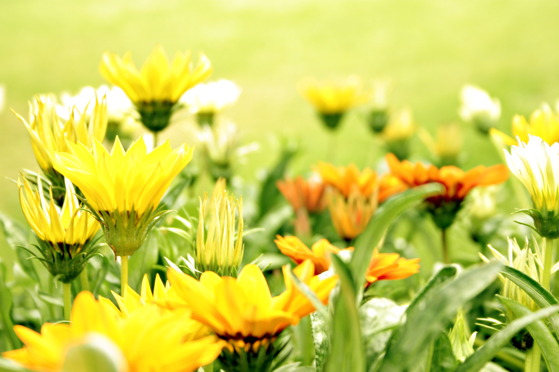 Bed of flowers, Summer, Yellow, Soft, Nature, HQ Photo