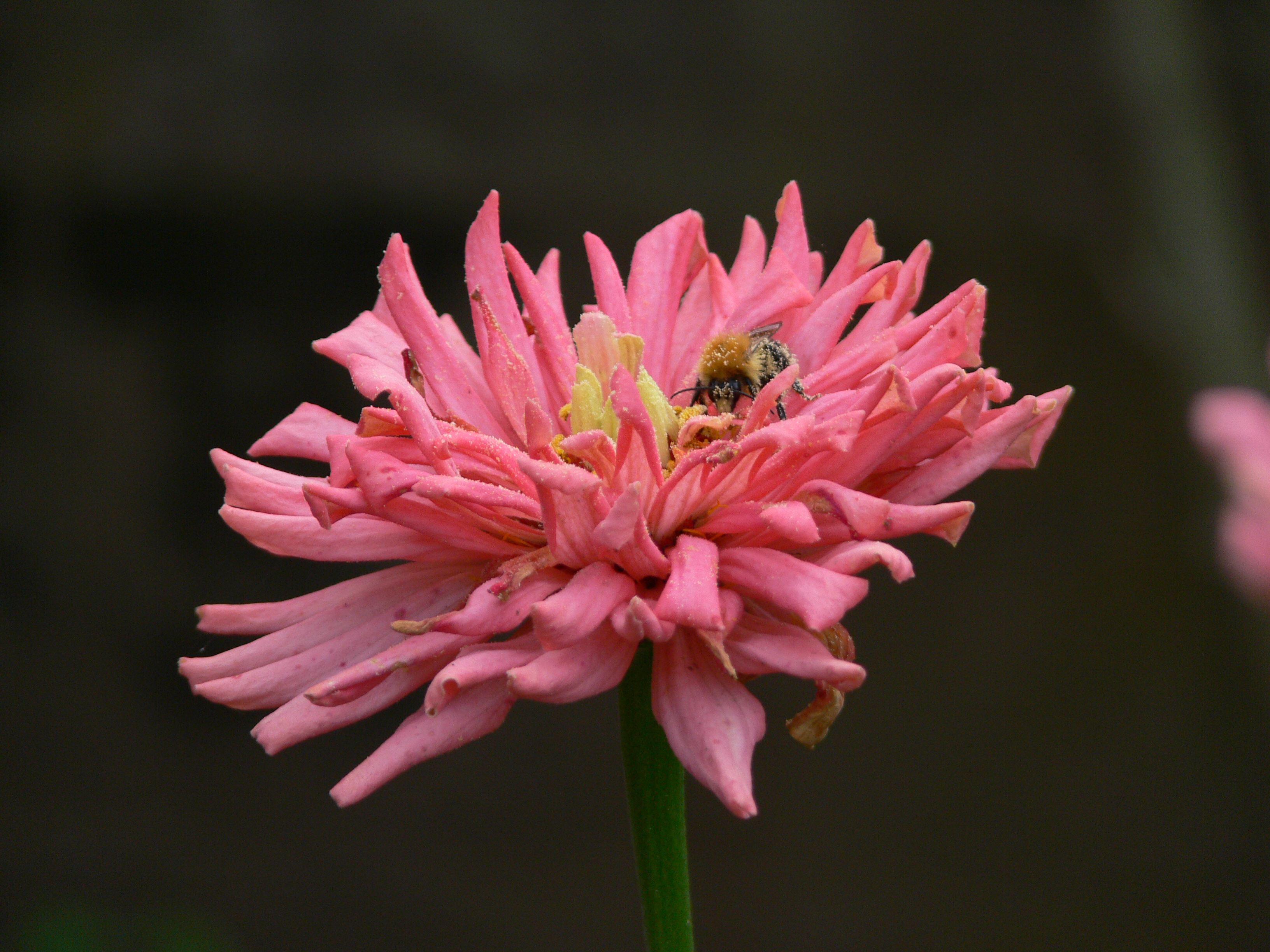 bee, Animal, Bumble, Flower, Insect, HQ Photo