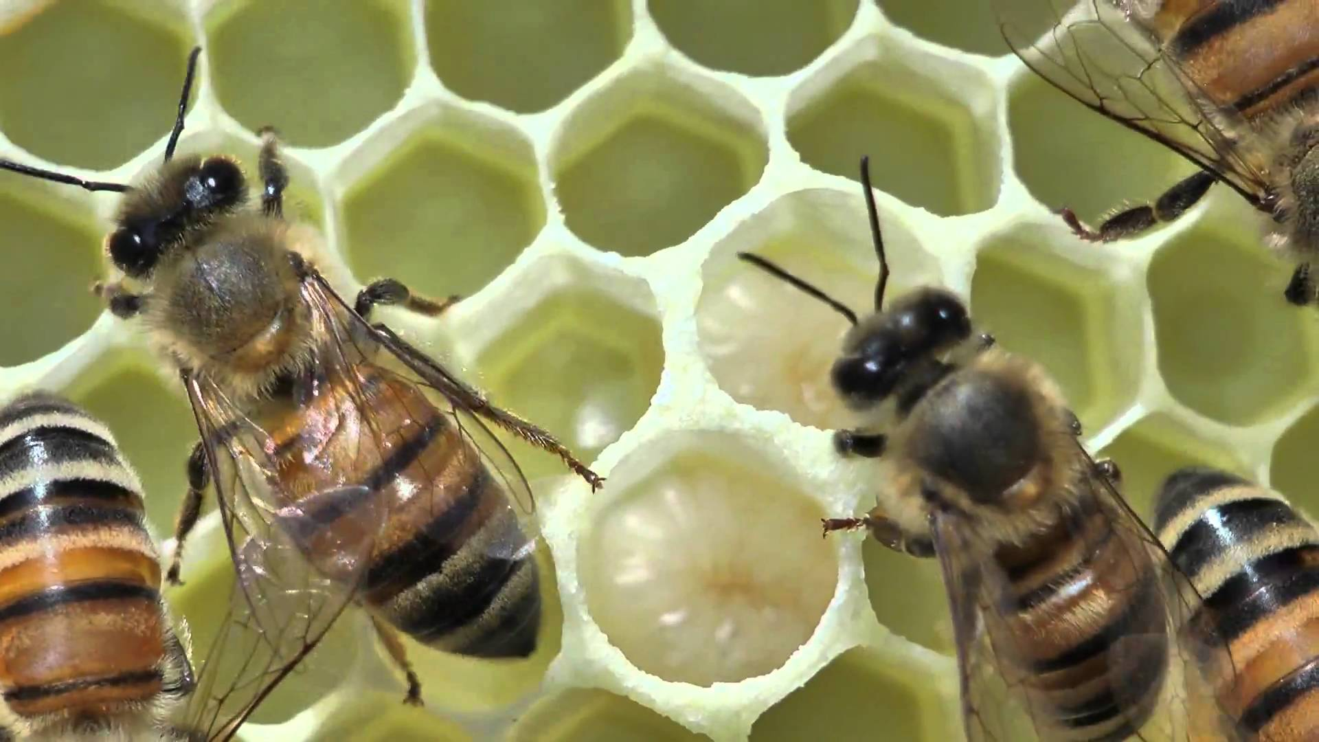 Honey bees close up tending a queen - YouTube