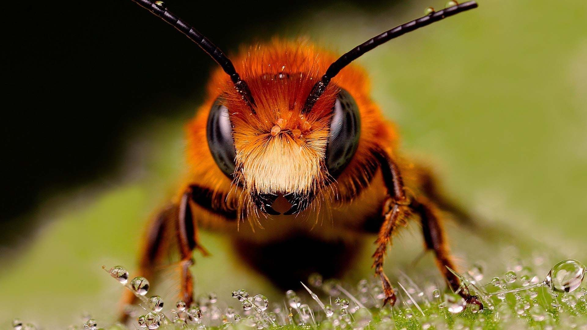 Bee Closeup HD | HD Animals and Birds Wallpapers for Mobile and Desktop