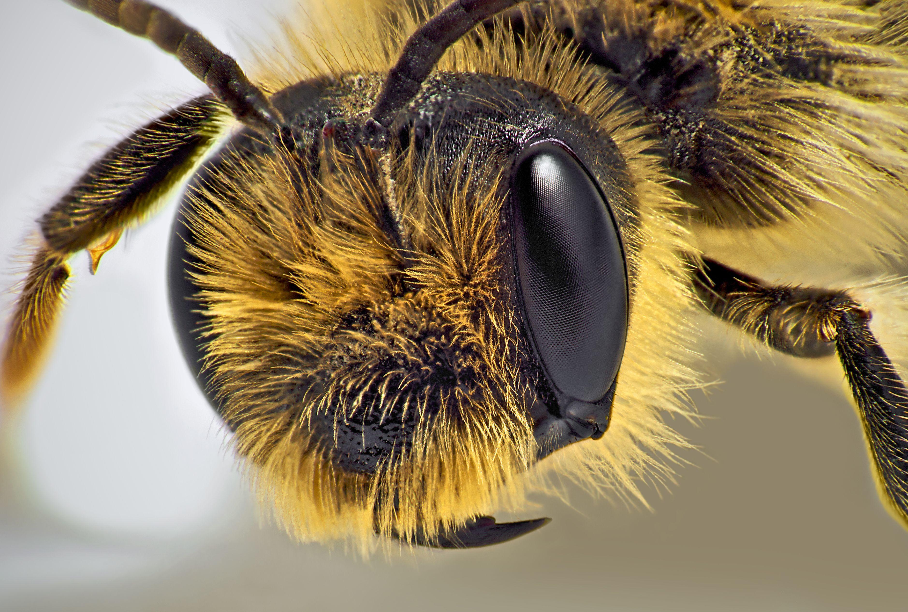 Bee closeup | Sound Bites | Bees | Pinterest | Bees