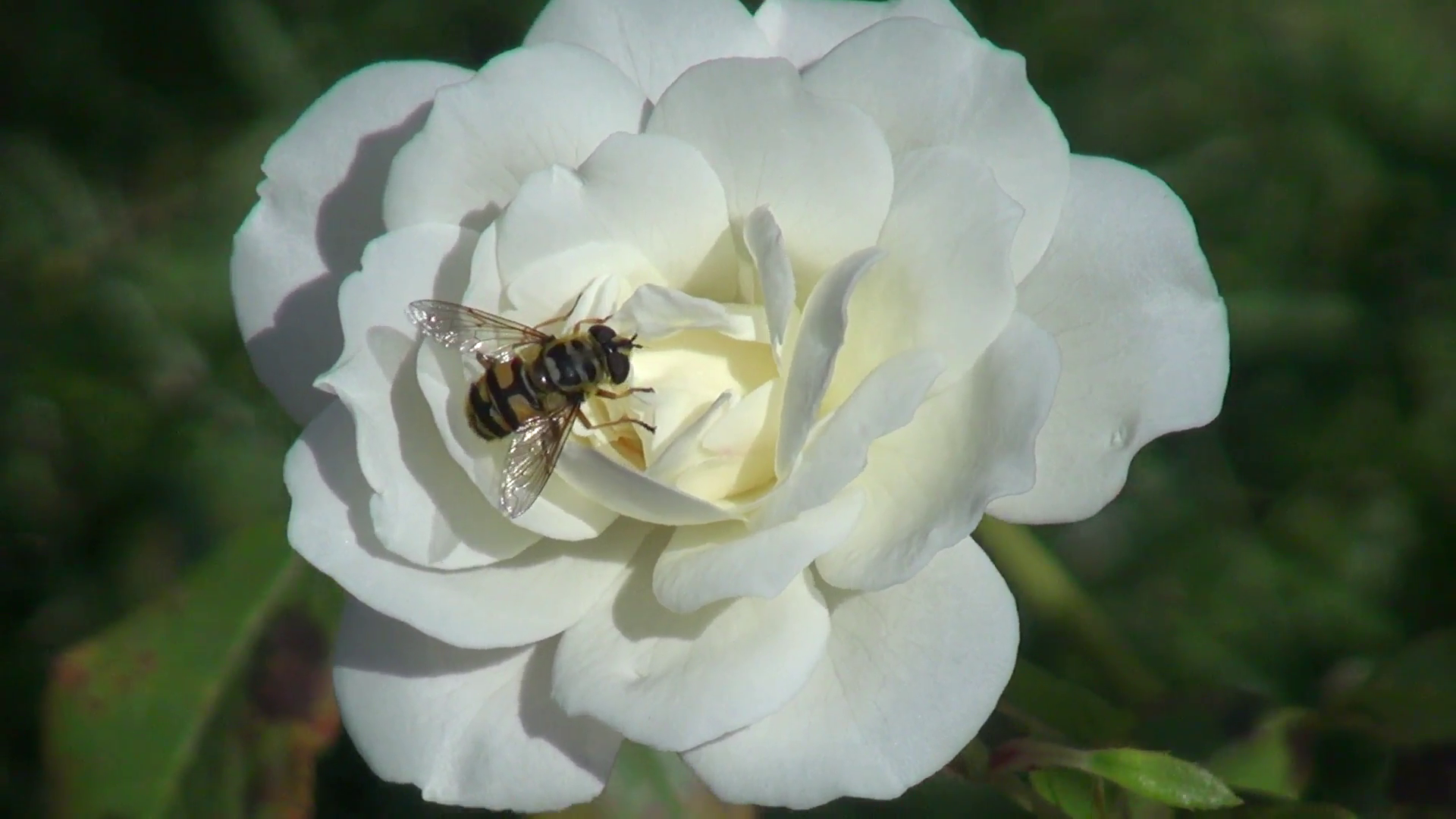 Beautiful white rose in the romantic garden, open rose, bumble bee ...