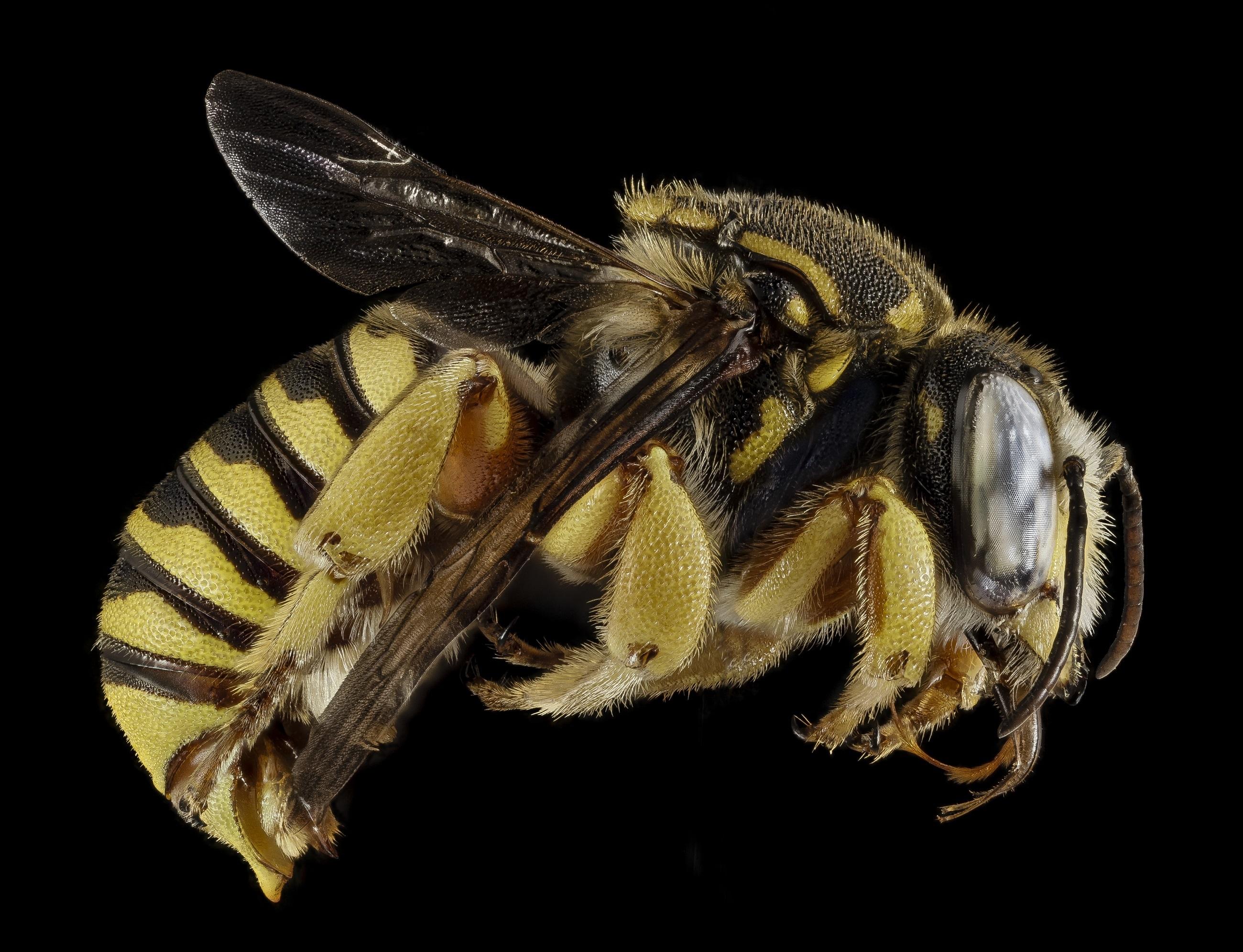 Bee Closeup, Animal, Bee, Close, Closeup, HQ Photo