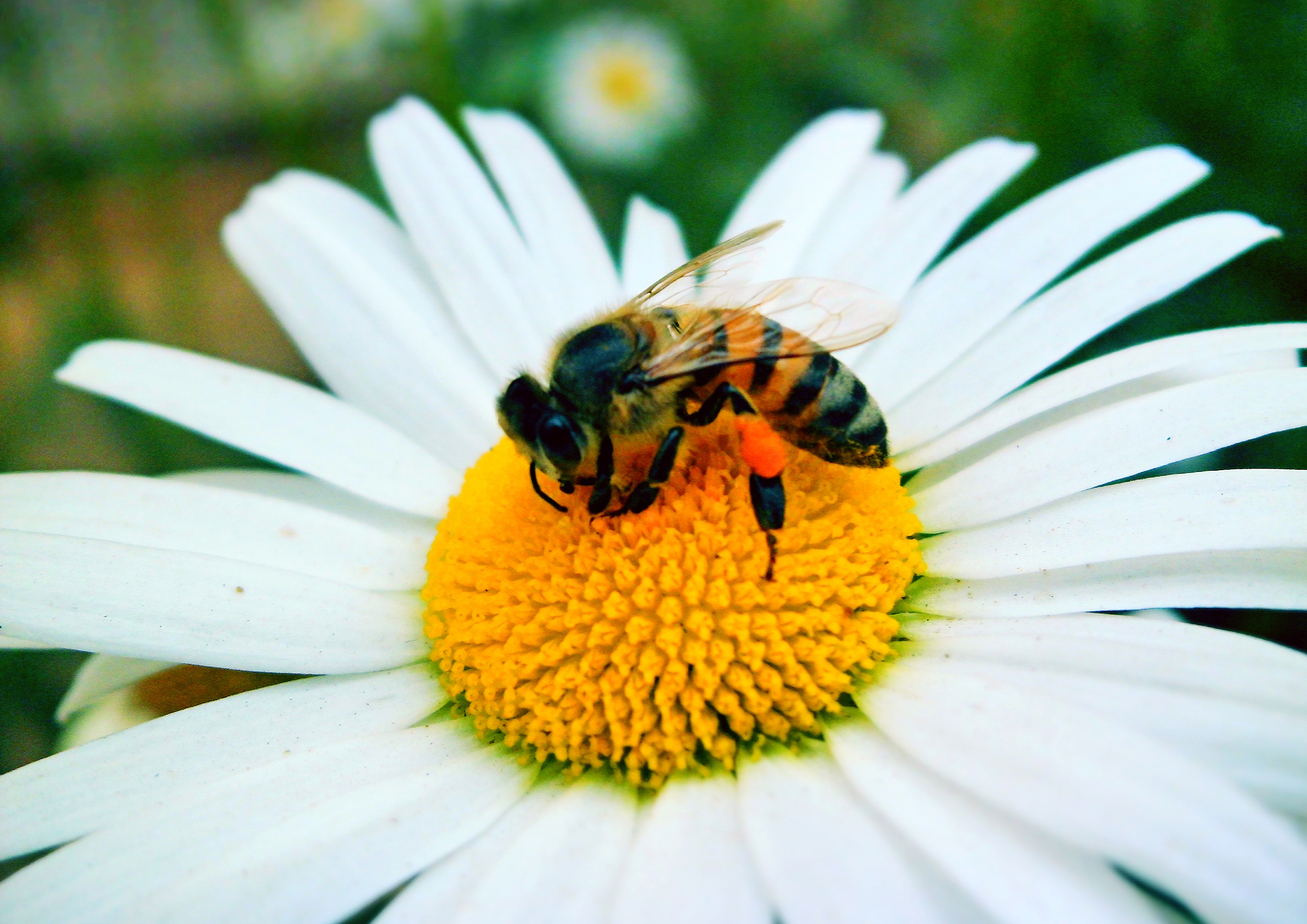 File:Bee on flower pollinating.jpg - Wikimedia Commons